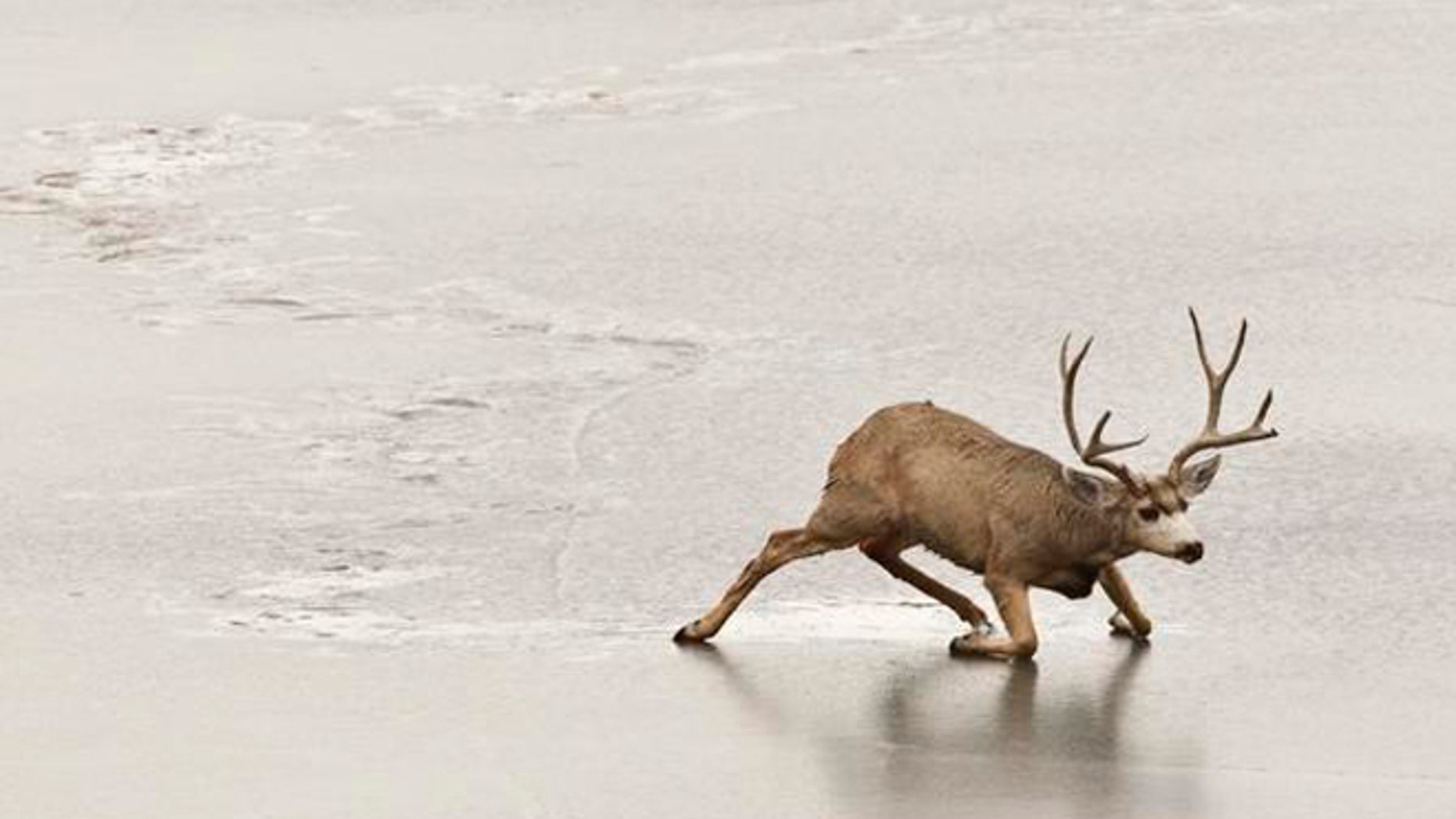 Jan. 10, 2013: A stuck mule deer buck struggles unsuccessfully to get off  the ice of a frozen-over lake in Golden, Colo. The number of mule deer in Colorado has declined more than 36 percent from 2005 to 2013, latest figures show. (AP/Brennan Linsley)