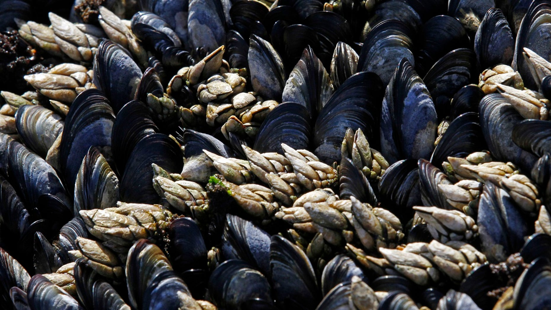Researchers in Washington discovered trace amounts of opioids in mussels off Seattle's coast.
