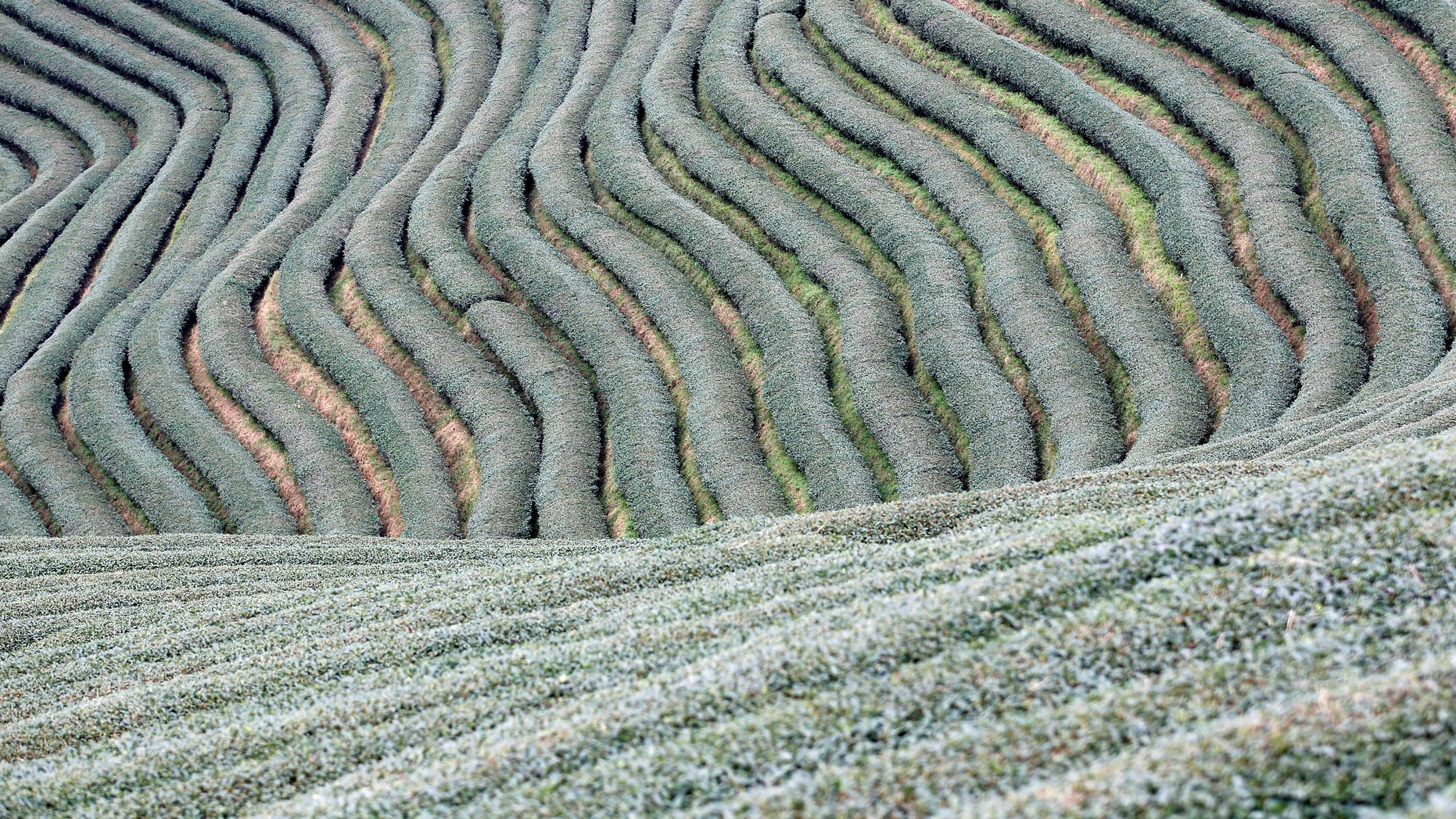 Workers work in tea leaf field at Mong Mao in ethnic Wa territory in north east Myanmar October 1, 2016. Picture taken on October 1, 2016. (REUTERS/Soe Zeya Tun)