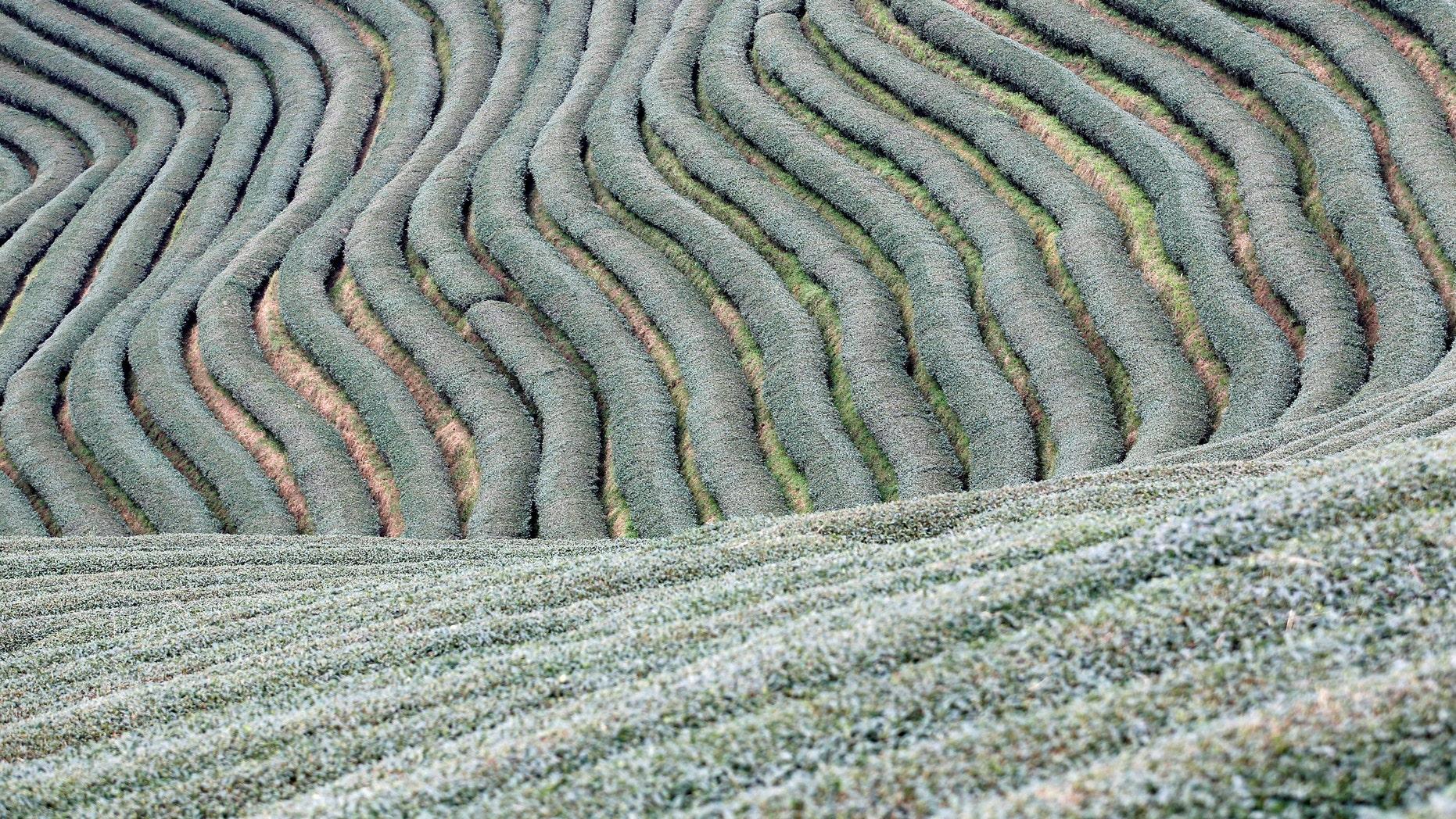 Workers work in tea leaf field at Mong Mao in ethnic Wa territory in north east Myanmar October 1, 2016. Picture taken on October 1, 2016. (REUTERS/Soe Zeya Tun)