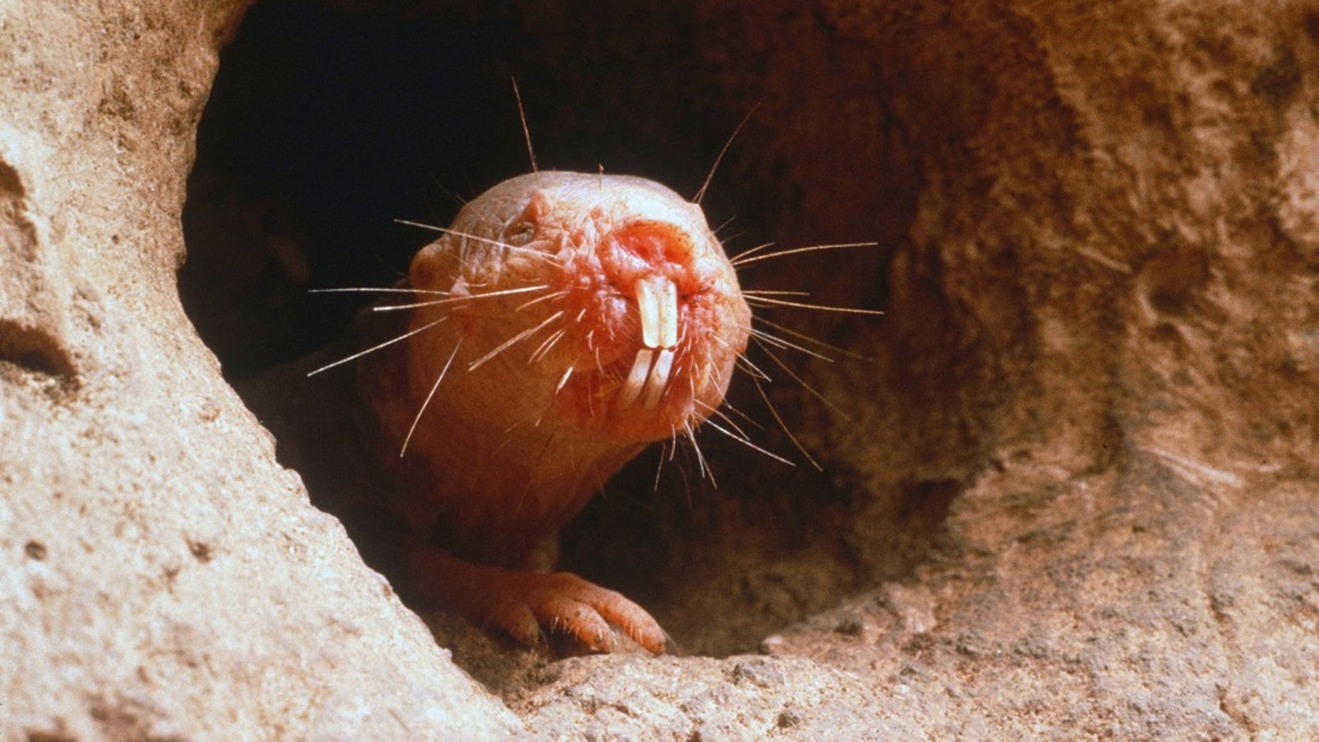 Naked mole rats live in underground colonies in the deserts of East Africa.