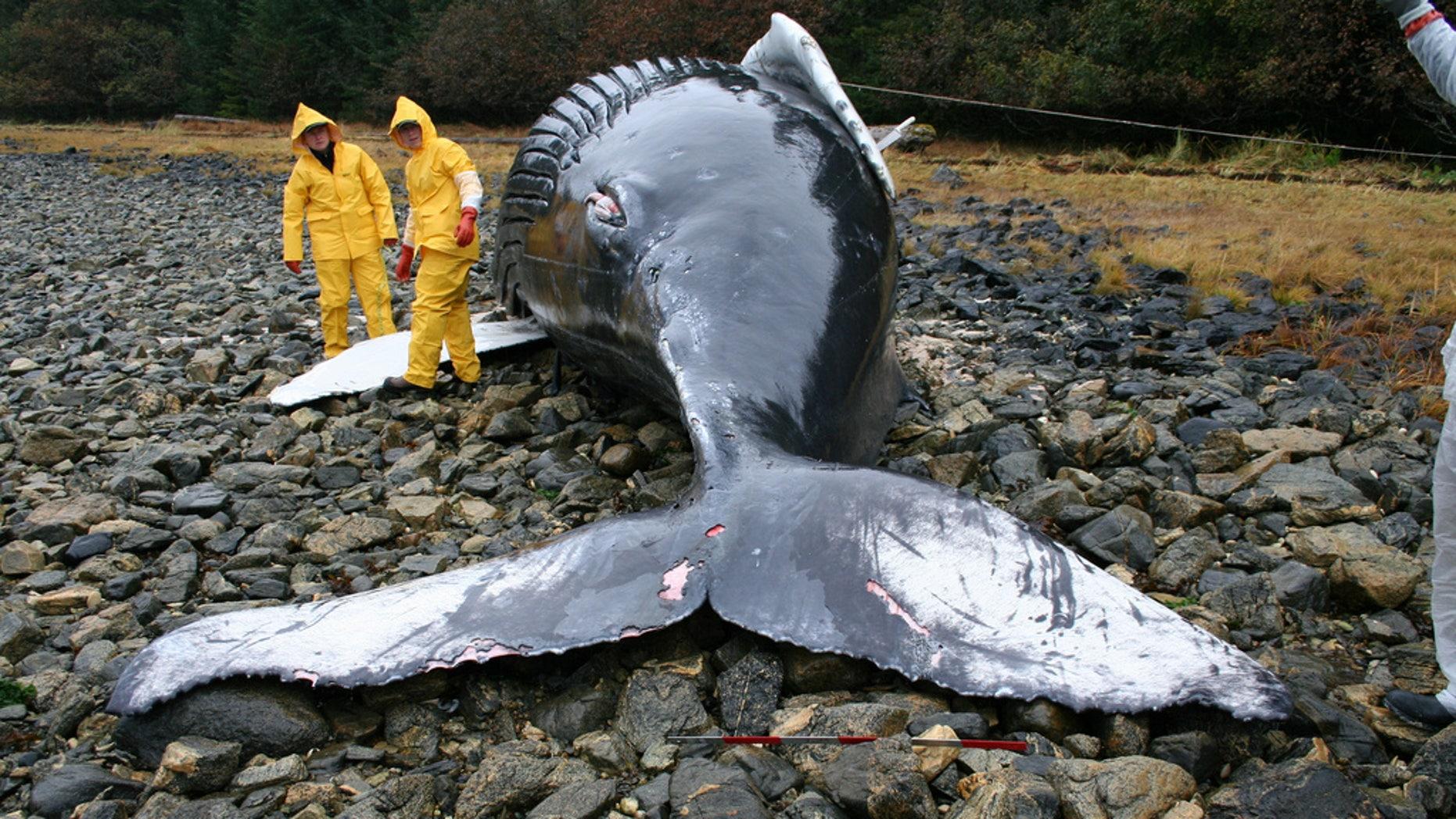 Veterinarians assist during the necropsy of a humpback whale calf that was stranded on Baranof Island, Alaska. (Alicia Jensen/NOAA/NMFS/AKFSC via NASA)