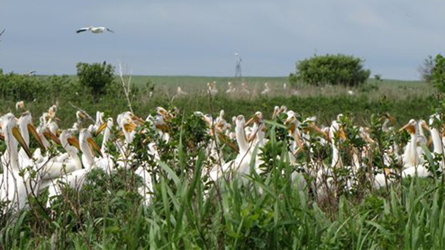 June 9, 2011: The U.S. Fish and Wildlife Service shows American white pelicans nesting at the Chase Lake National Wildlife Refuge near Medina, N.D.