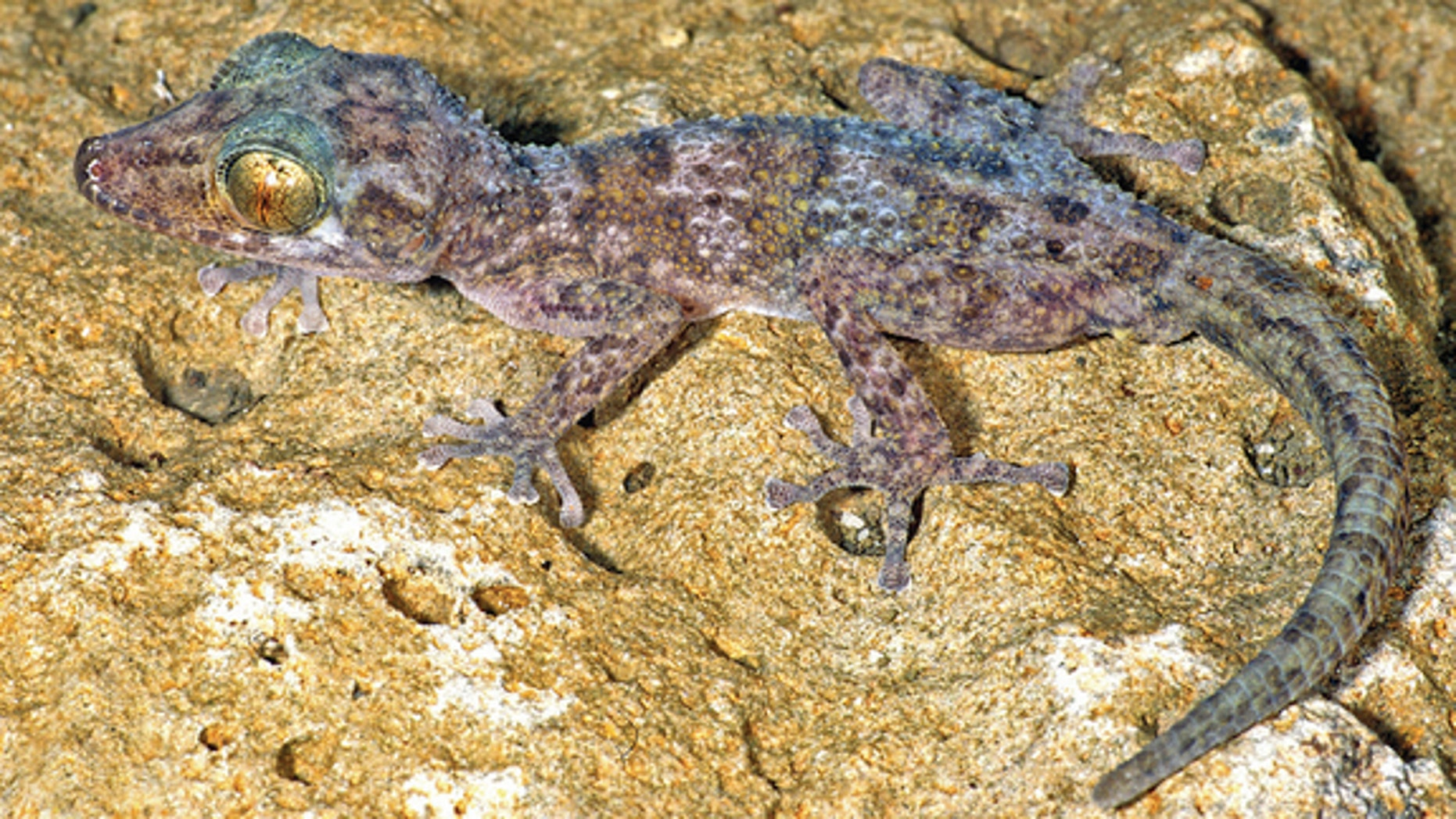 An adult male of the new nocturnal gecko species, <i>Paroedura hordiesi</i>.