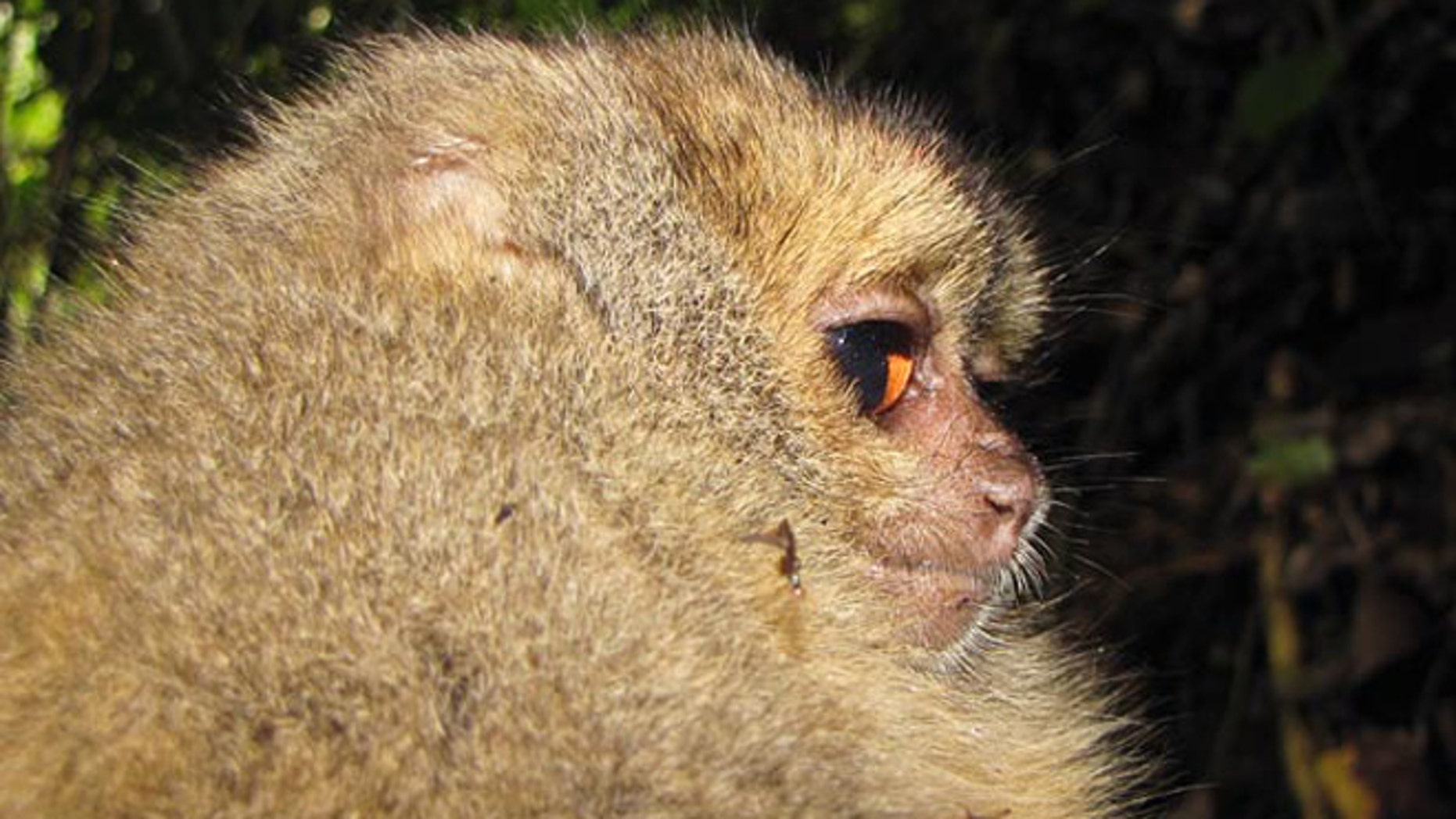 Some of the animals found include an as of yet unnamed type of night monkey with orange-colored eyes.