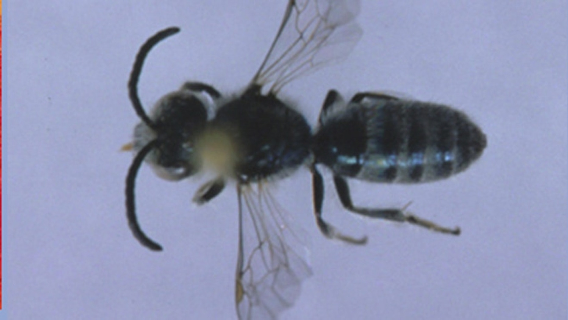 A closeup of a sweat bee, which is the size of a sesame seed.
