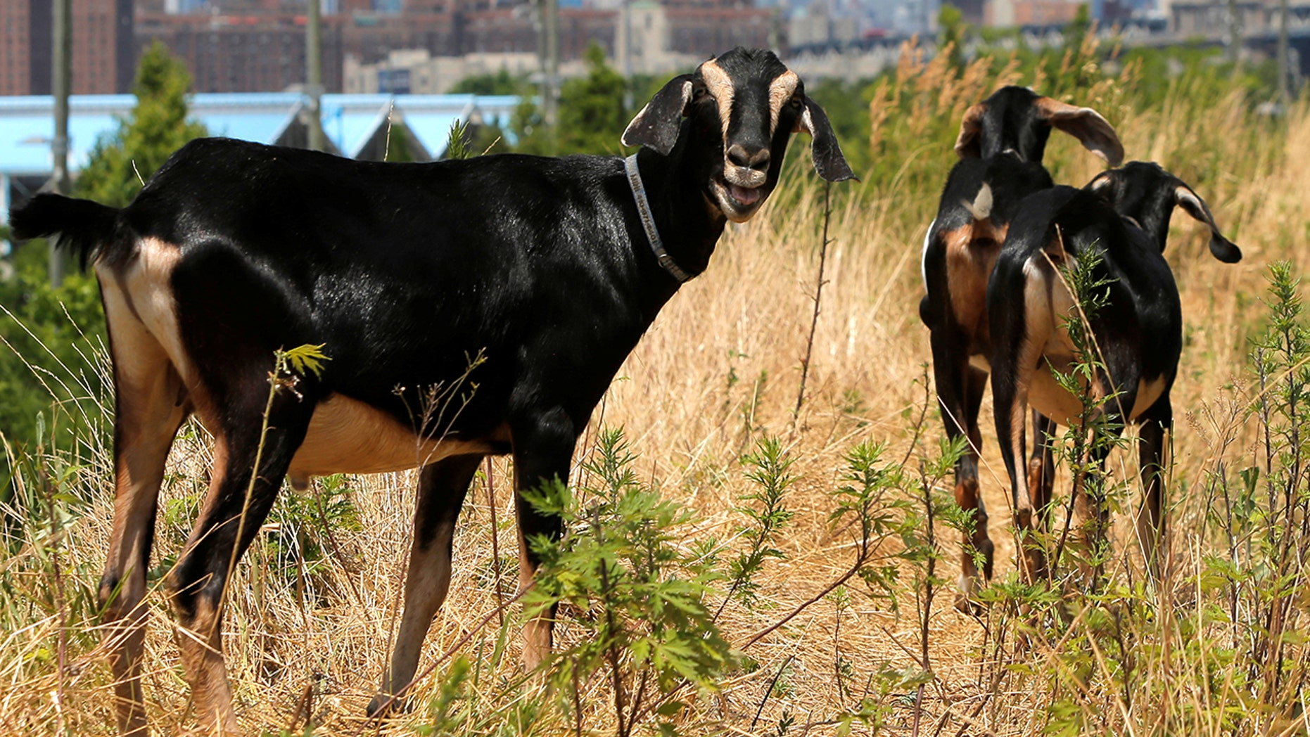 A decapitated goat discovered in a storage bin near railroad tracks in New Jersey on Monday sparked an investigation.