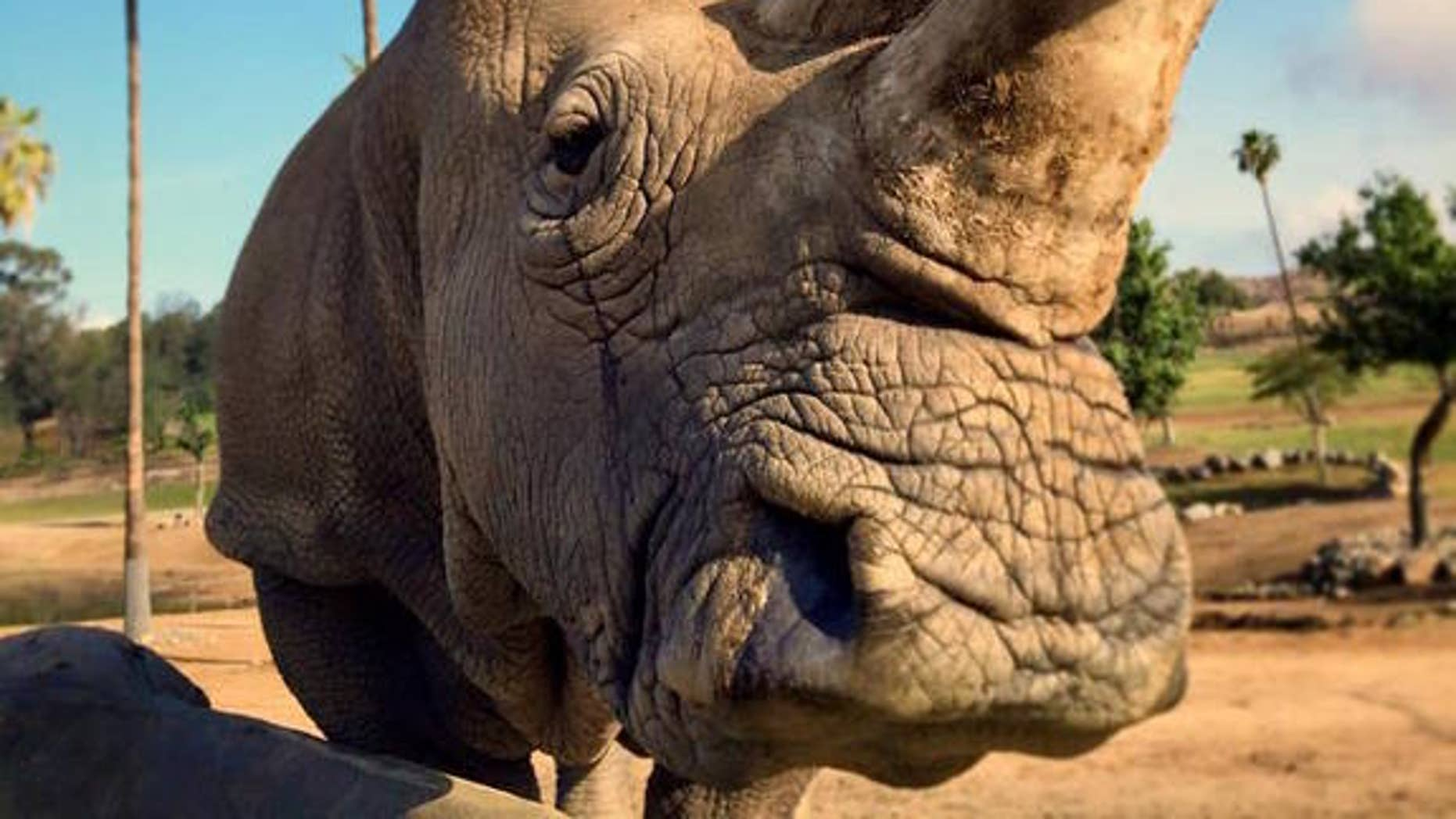 Nola, one of the last northern white rhinos on Earth, died this week.
