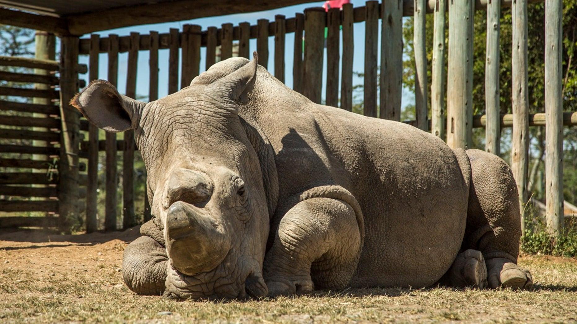 Sudan, the last male northern white rhino, at Ol Pejeta Conservancy in Kenya on June 25, 2015.
