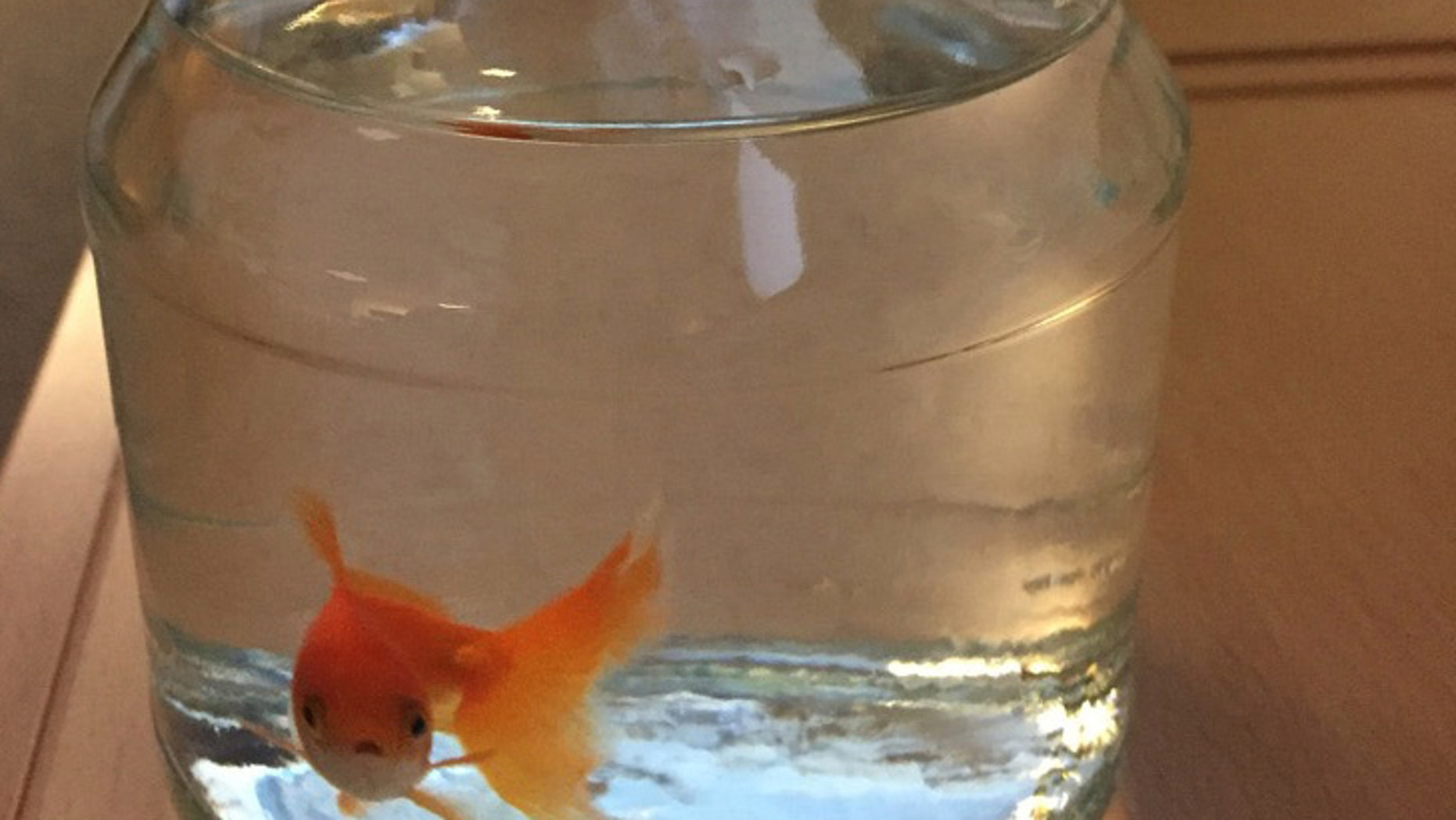 A goldfish swims inside a jar at the police station in Bodo, Norway.