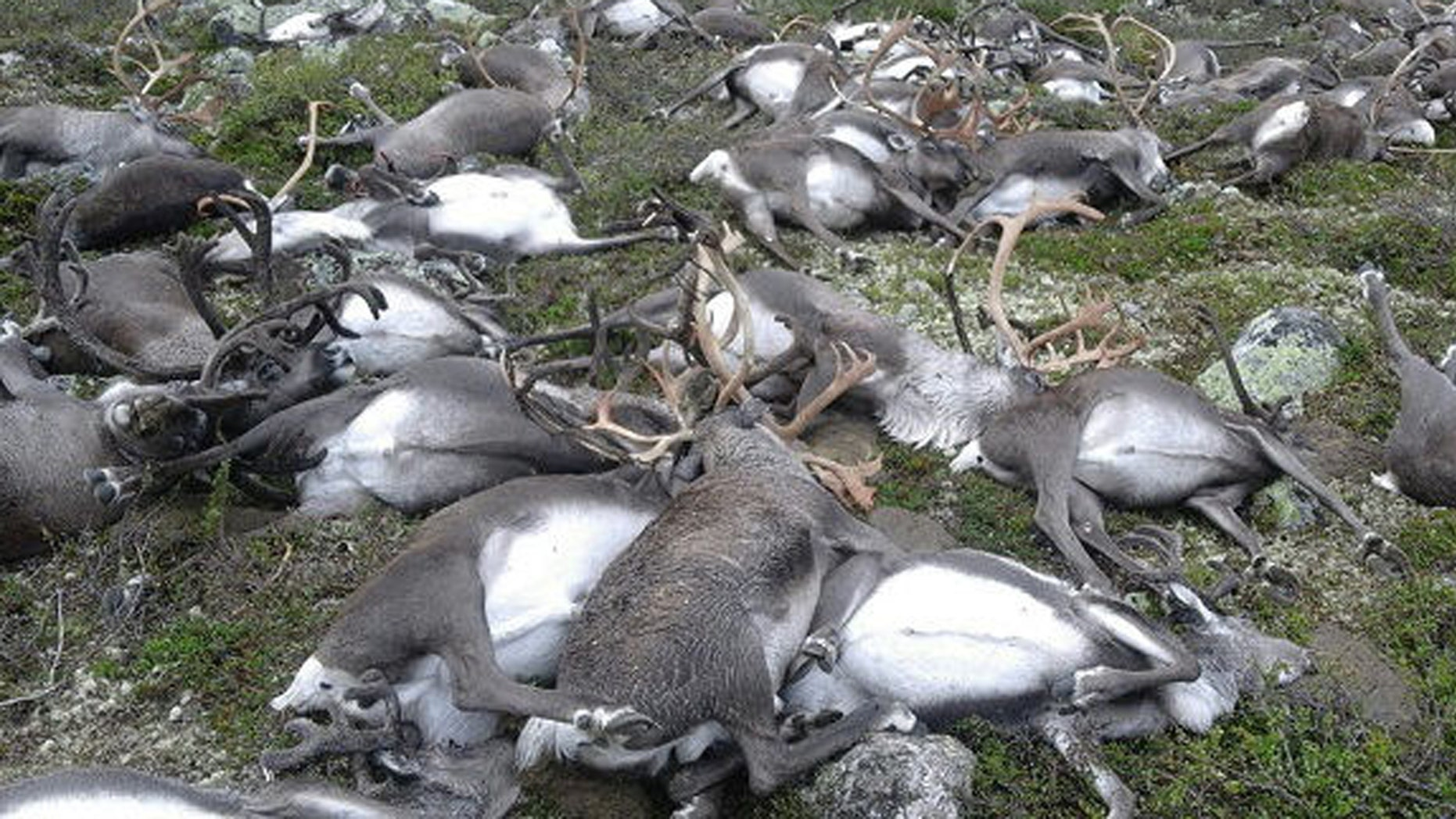 Aug. 26, 2016: This image shows some of the 323 reindeer killed by a lightning strike on the Hardangervidda mountain plateau in central Norway