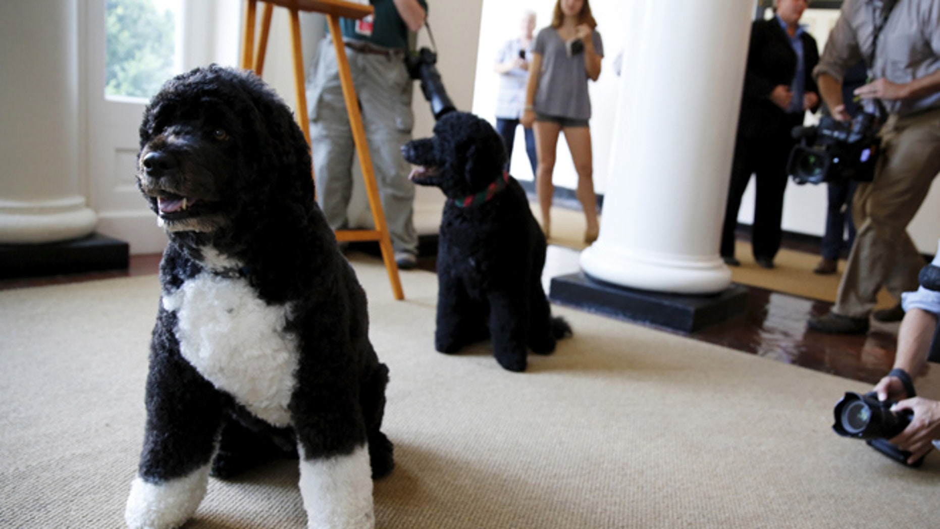 July 1, 2015: Obama family dogs Bo (L) and Sunny as visitors can now take photos during a tour of the White House in Washington.