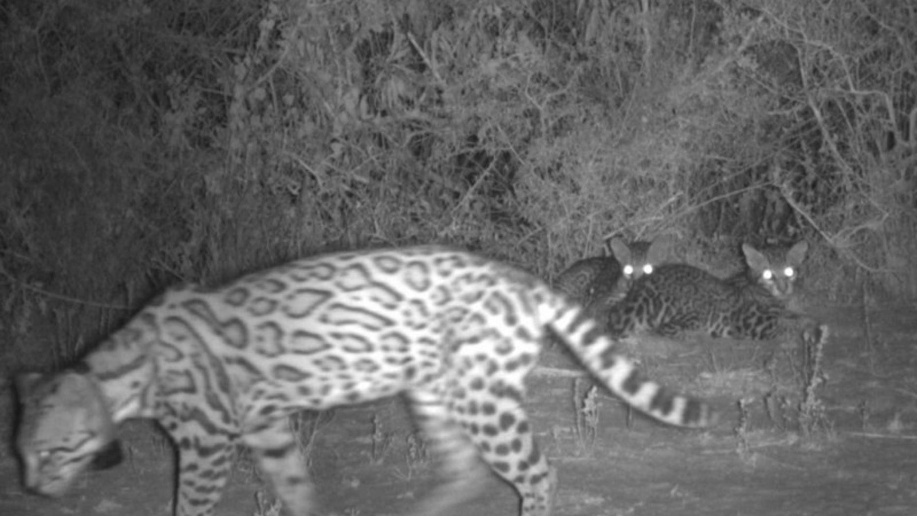Mother ocelot and two kittens on Yturria Conservation Easement (USFWS).