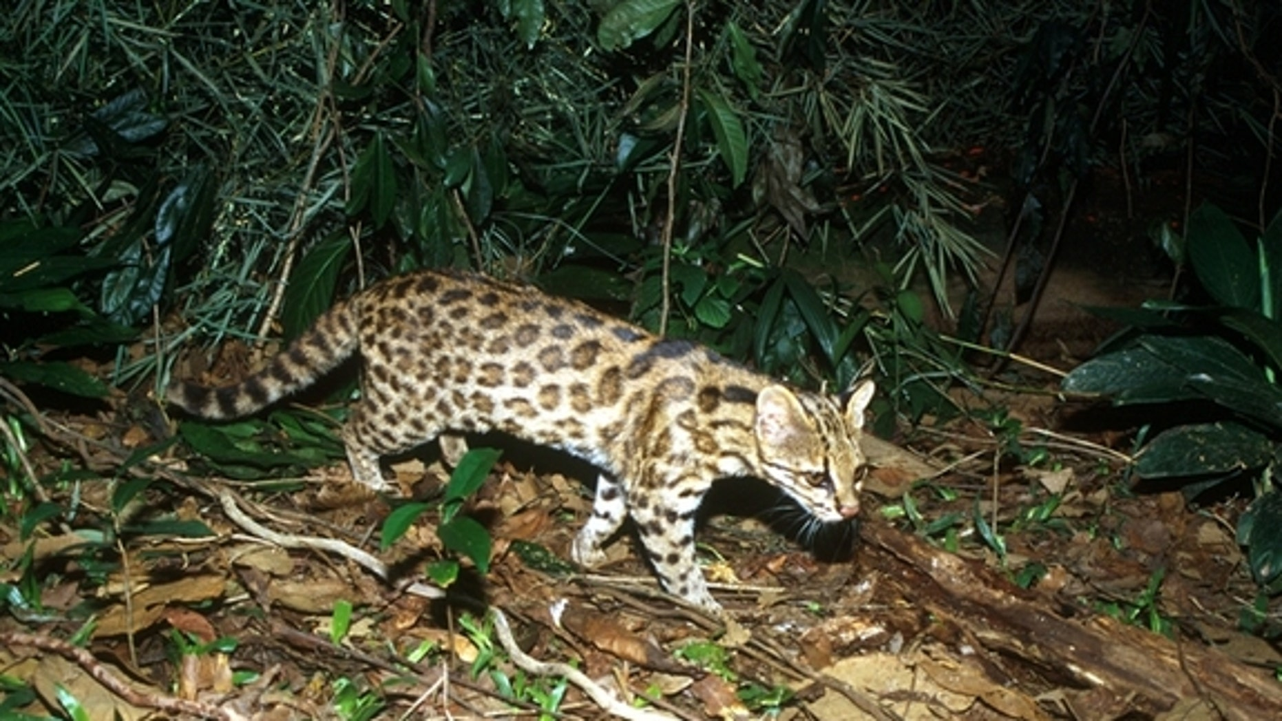 An oncilla (<em>Leopardus guttulus</em>) found in southern Brazil. They are one of the smallest cats in South America, maxing out at 3 kilograms (about 6.5 lbs.).