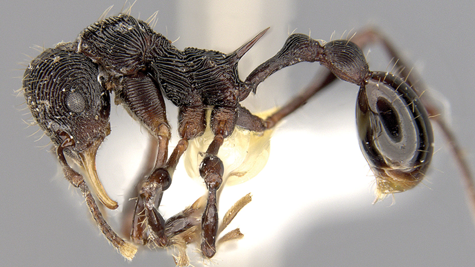 The new ant species, as shown in the journal ZooKeys.