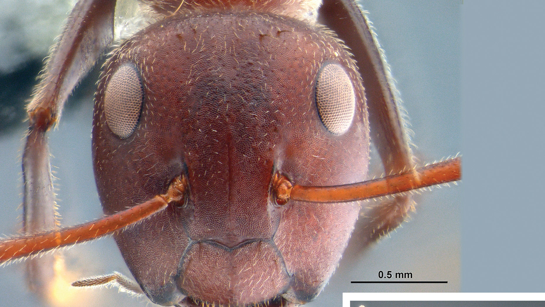 "An ant from a new species group called ""Colobopsis explodens"" capable of ""exploding themselves"" when under attack."