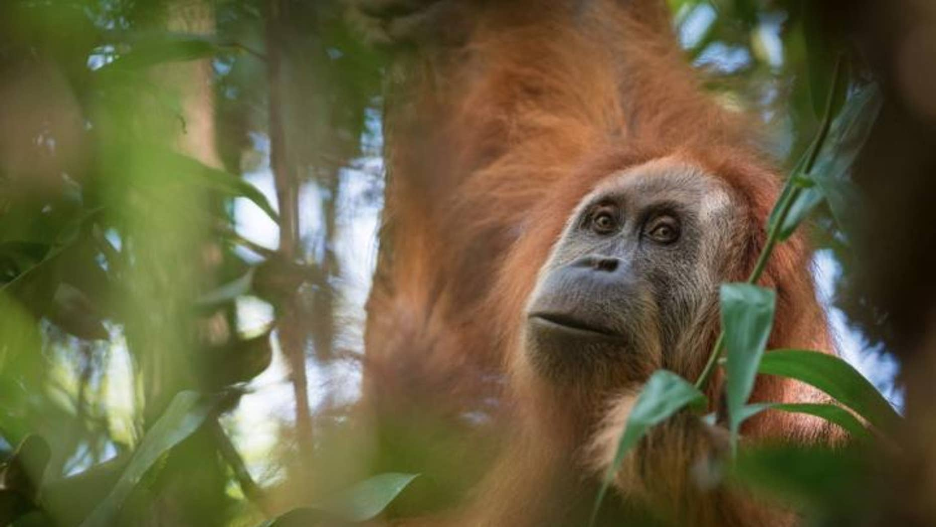 The Pongo tapanuliensis, a new species of orangutan (Andrew Walmsley)