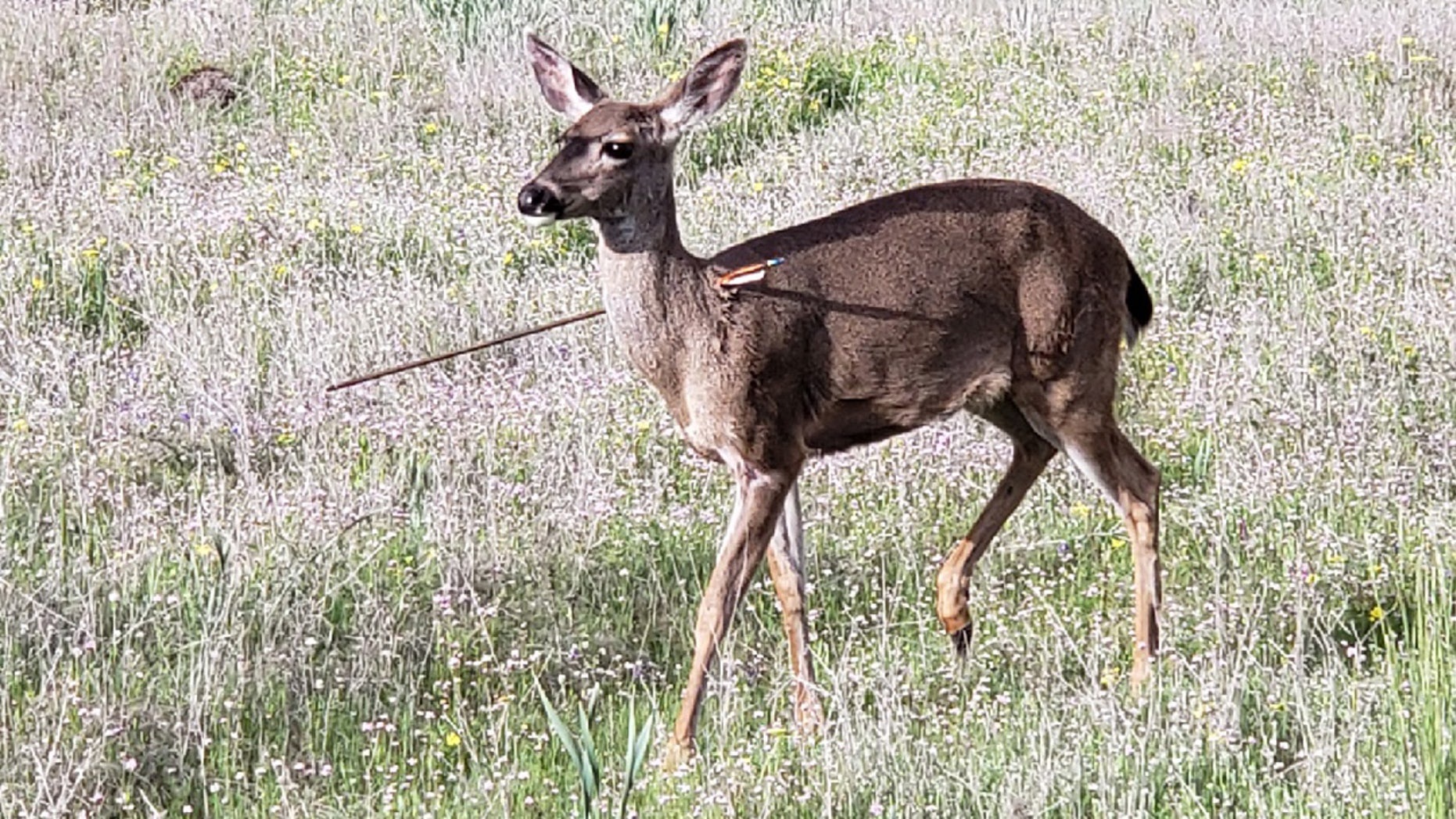 Two deer were discovered Friday with arrows protruding from their bodies, according to police.