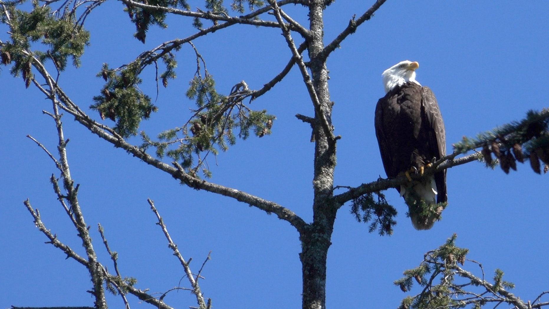 A wild bald eagle perches in a tree above the Oregon Zoo.