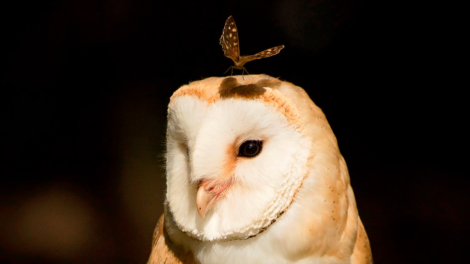 Stunning photo captures the butterfly landing on a barn owl's head