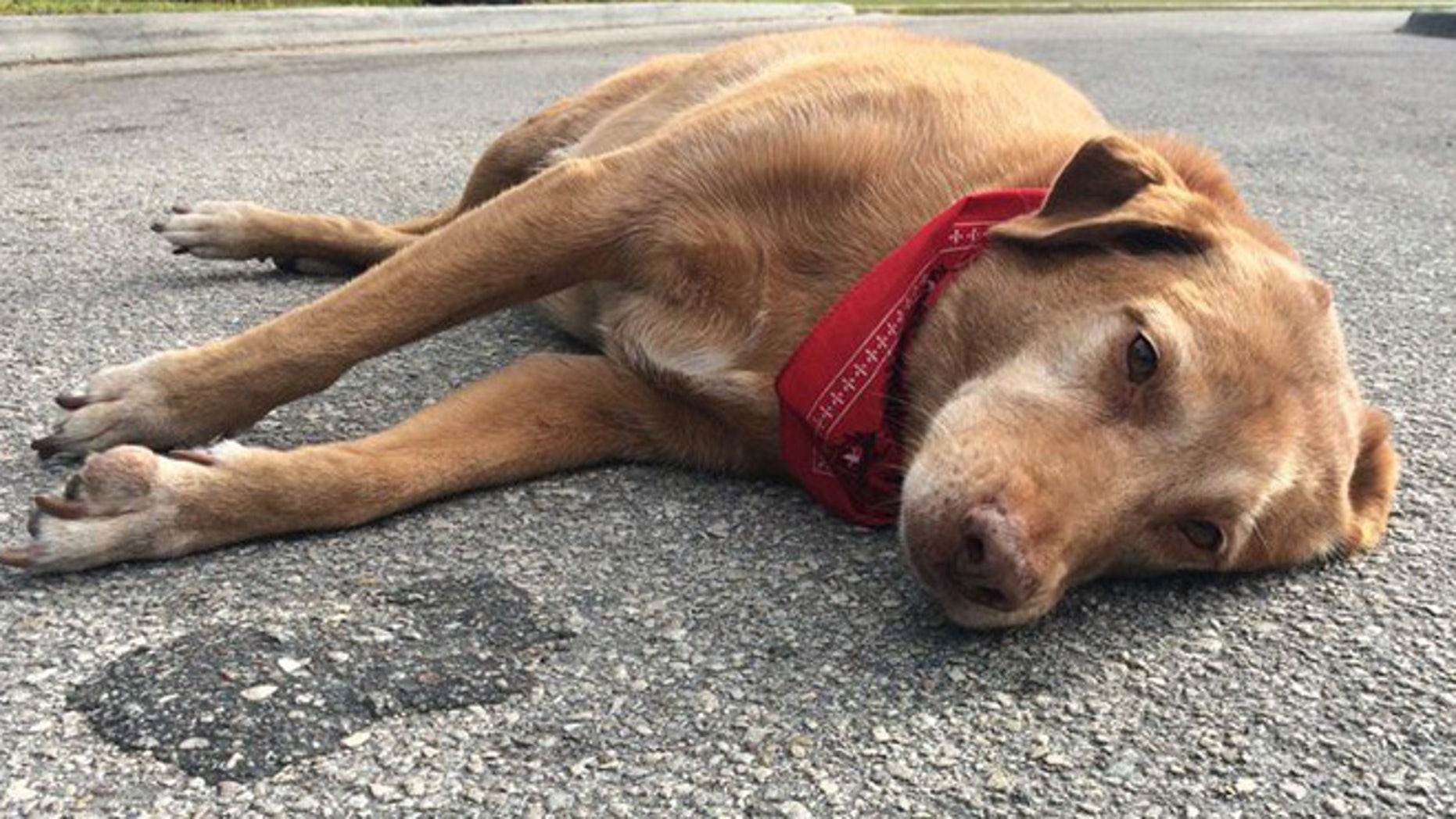 Paco remains at spot where his owner was dragged to her death by semi-truck.(ActionNewsJax)