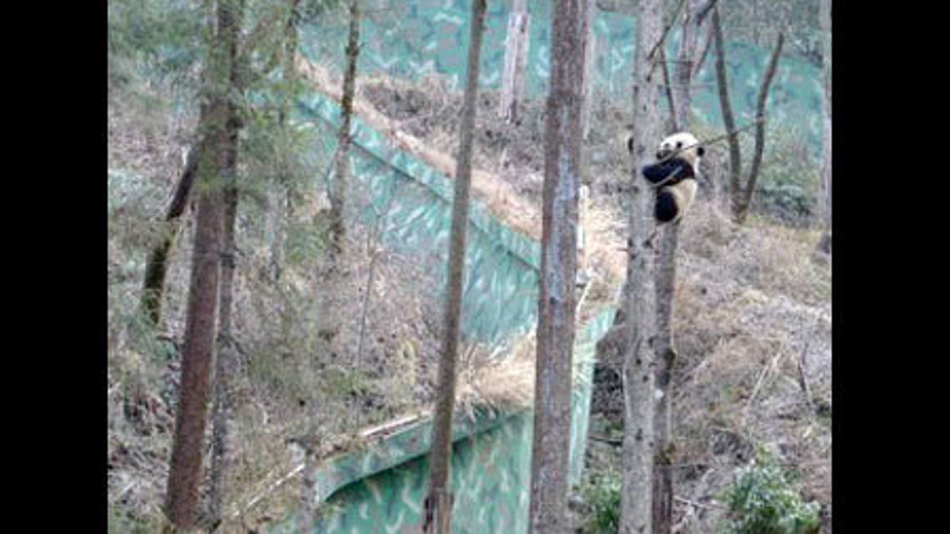 In Wolong in the mountains of China, baby pandas are off limits to all but the people who monitor and care for the animals. The pandas are raised in expansive enclosures, filled with trees, bamboo and steep slopes that mimic prime panda real es