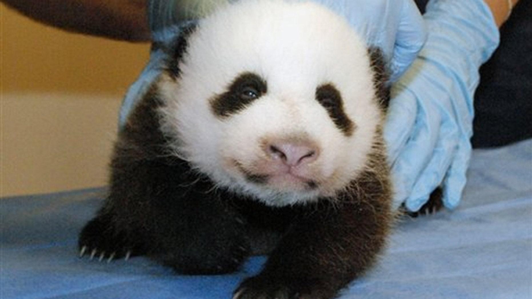 FILE: Mei Xiang's giant panda cub undergoing an exam on Oct. 11, 2013, at the zoo in Washington.