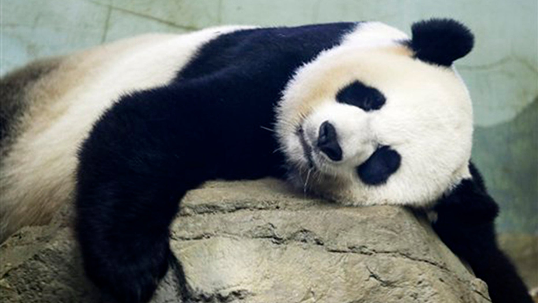 The Smithsonian National Zoo's Giant Panda Mei Xiang, mother of panda youngster Bao Bao who was born Aug. 23, 2013, sleeps in the indoor habitat at the zoo in Washington, Wednesday, Aug. 12, 2015. (AP Photo/Jacquelyn Martin)