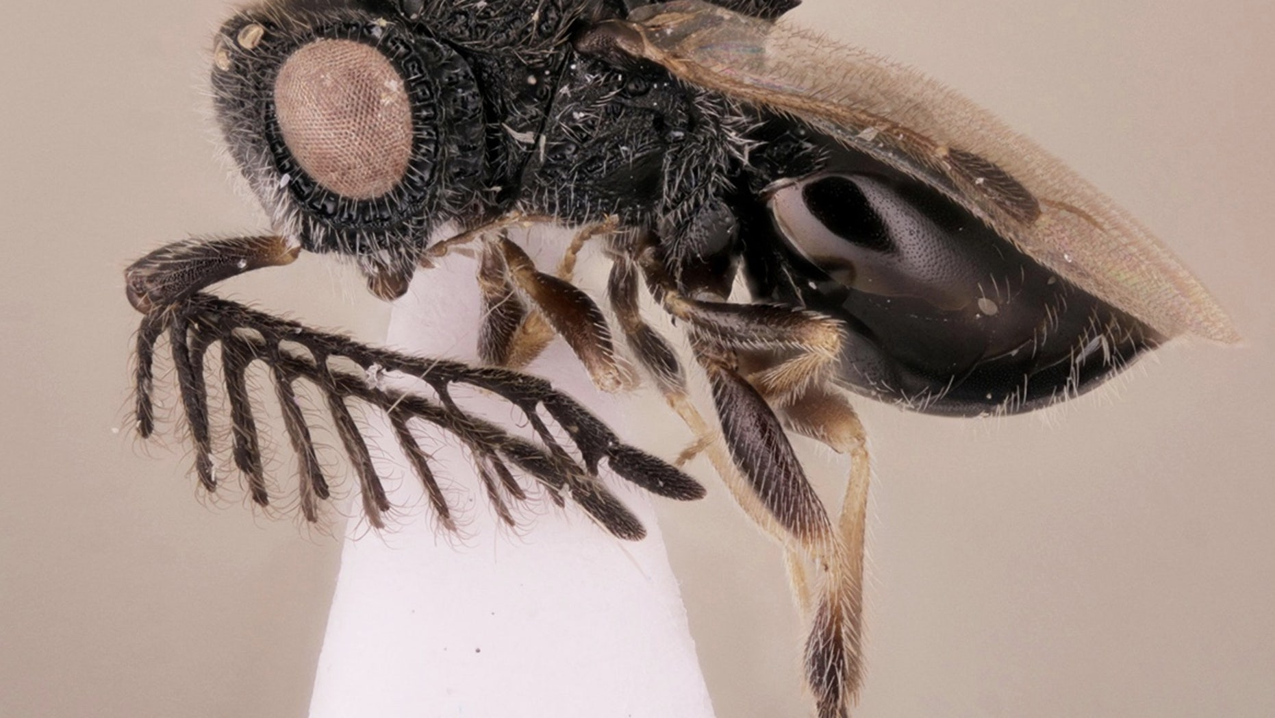 The new parasitoid wasp species, <i>Dendrocerus scutellaris</i>, wears a saw of sorts on its back.