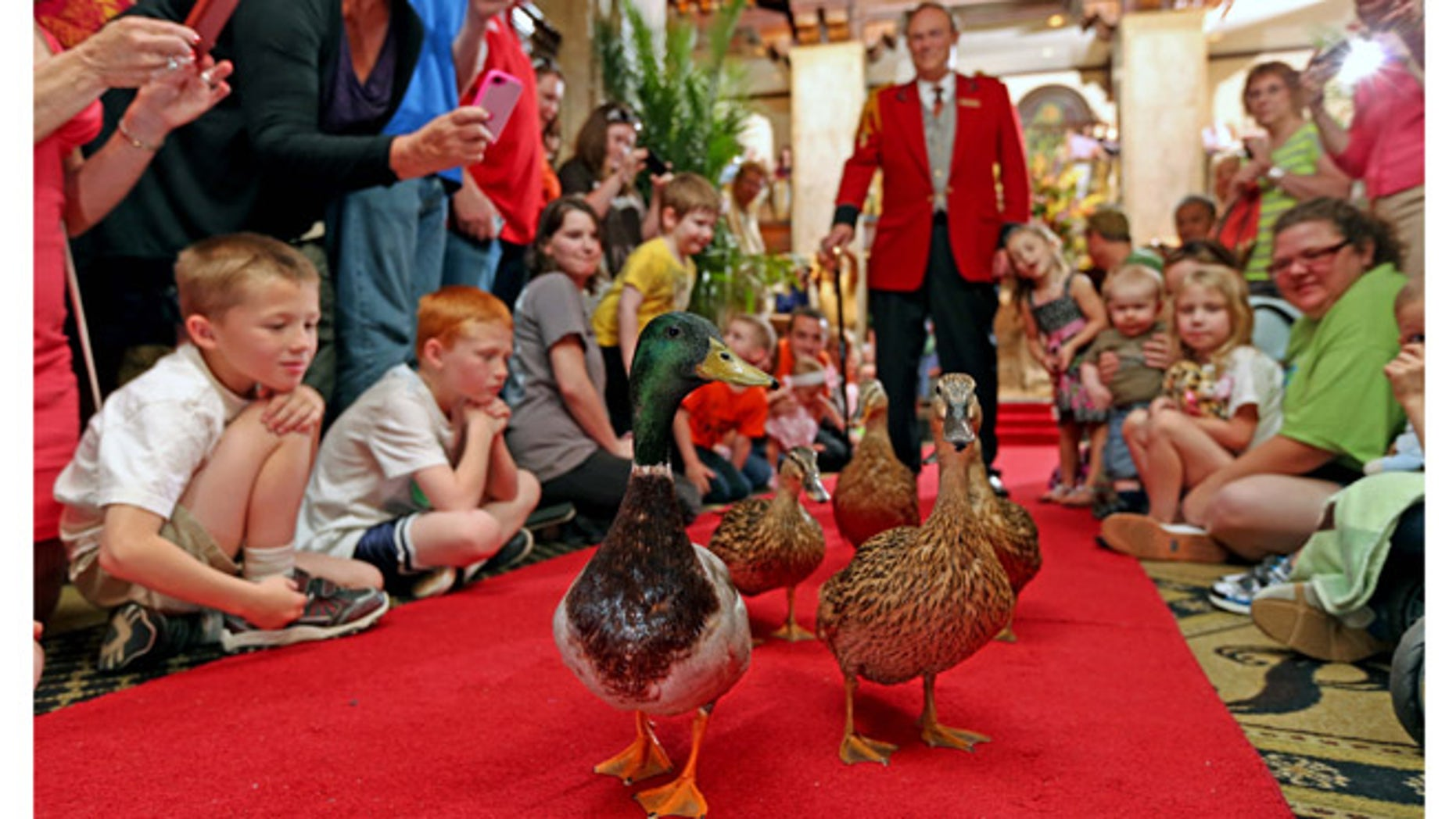 Visitors are welcome to stop by The Peabody Memphis Hotel to watch the ducks parade through the lobby.
