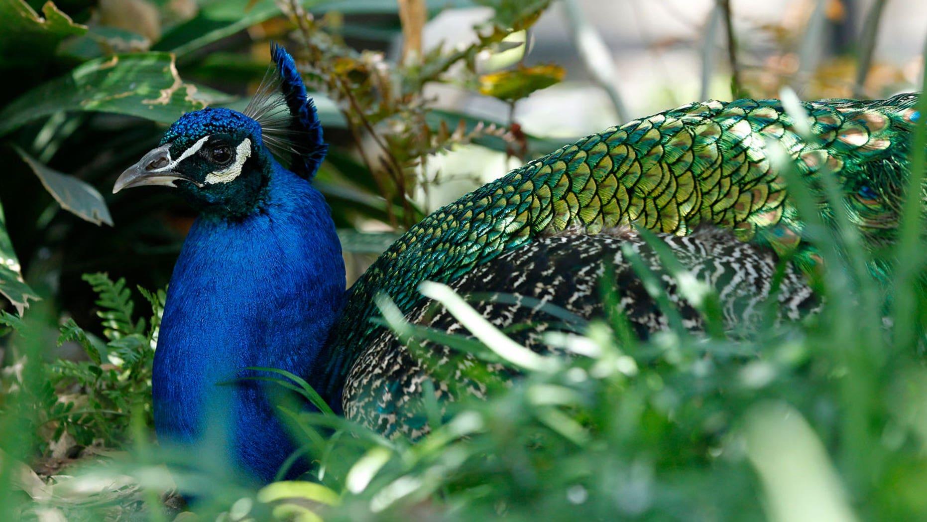 A wild peacock in Arcadia, Calif., wreaked havoc on the Royal Oaks liquor store.