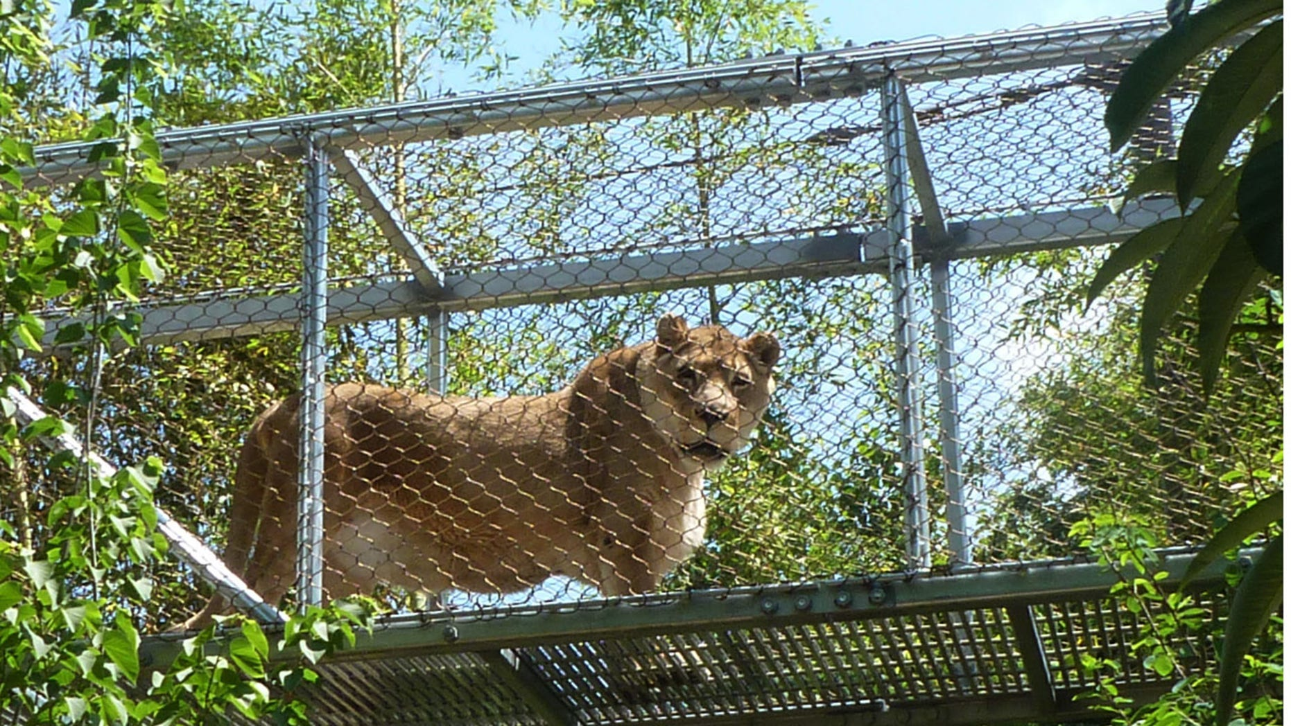This undated photo provided by the Philadelphia Zoo shows an African lion named Zenda at the zoo.