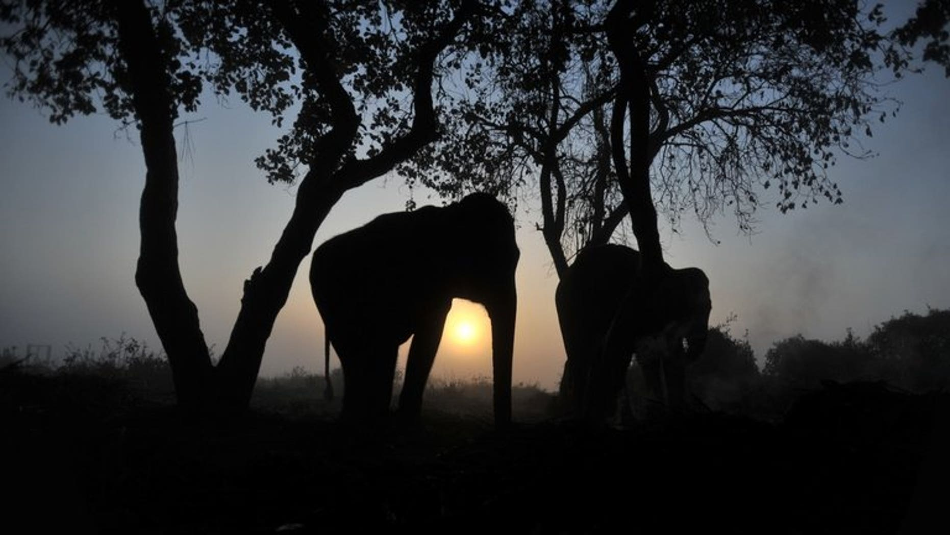 This file photo shows elephants resting under a tree in Chitwan, some 150 km southwest of Kathmandu, on December 29, 2011. An elephant trampled a 12-year-old girl to death after dragging her away from her home in a remote region of southeastern Nepal on Monday, according to police.