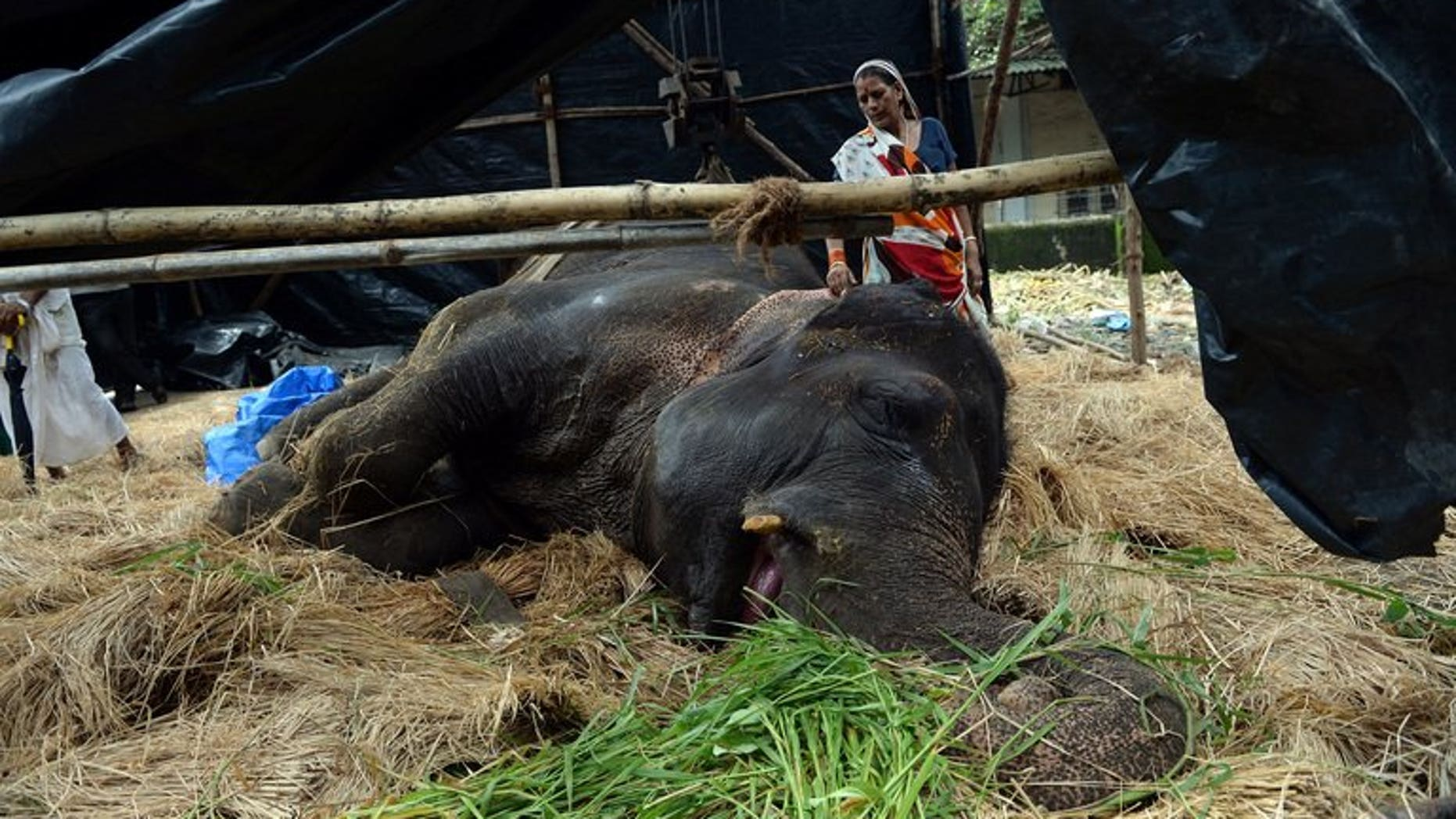 An Indian volunteer helps take care of Bijlee, an elephant in Mumbai on June 19, 2013. An overworked and overweight Indian elephant called Bijlee is fighting for her life in Mumbai after collapsing in the street, sparking anguish among animal activists and Bollywood stars.