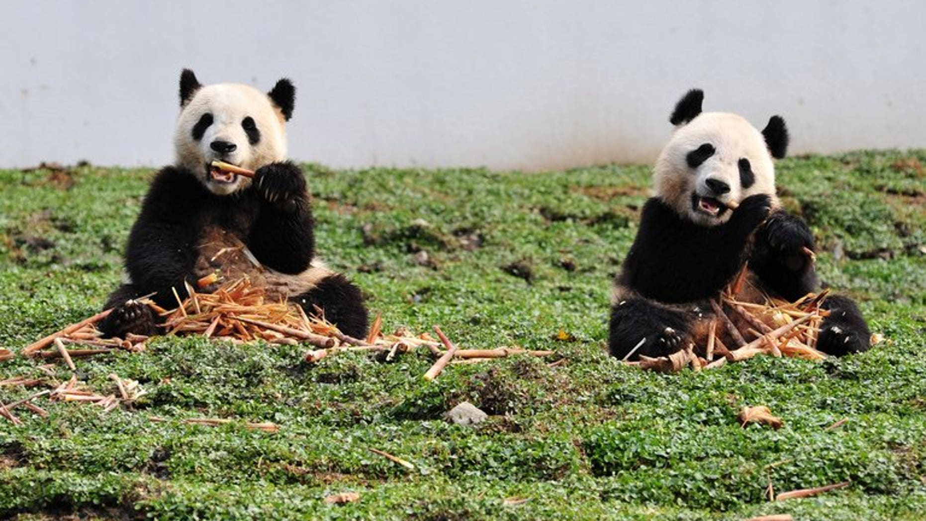 This picture taken on October 30, 2012 shows two giant pandas at the Wolong National Nature Reserve in China's Sichuan province. A rare giant panda has given birth to twins in China, the first pair of the endangered species born in the world this year, conservation workers told state media Sunday.