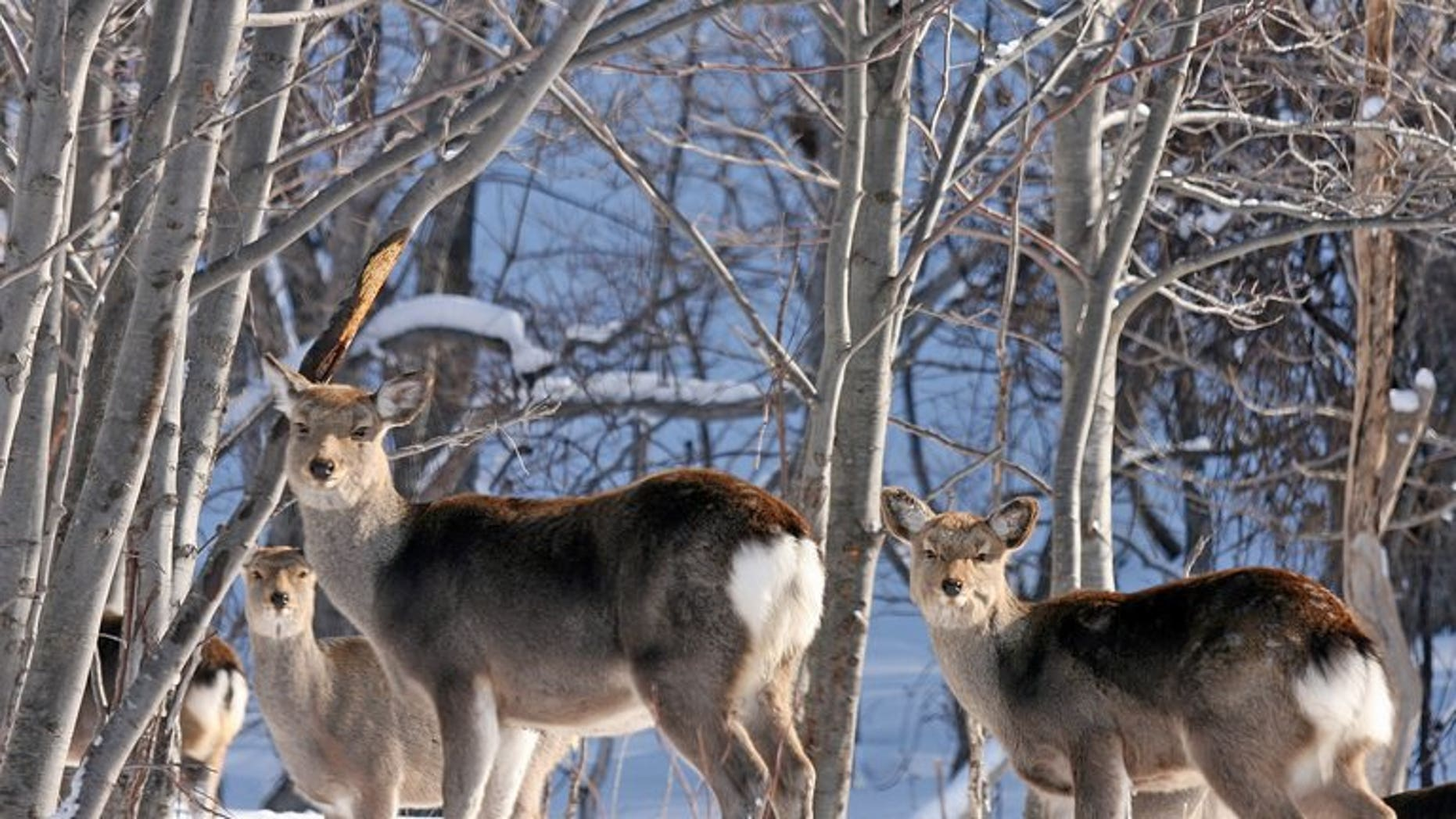 This file photo shows deer, pictured near Shari town in nothern Japan, on February 10, 2007. Transport operators in the north are sprinkling wolf urine near roads and broadcasting the roar of lions near train tracks in a bid to keep deer away and reduce accidents, according to officials.