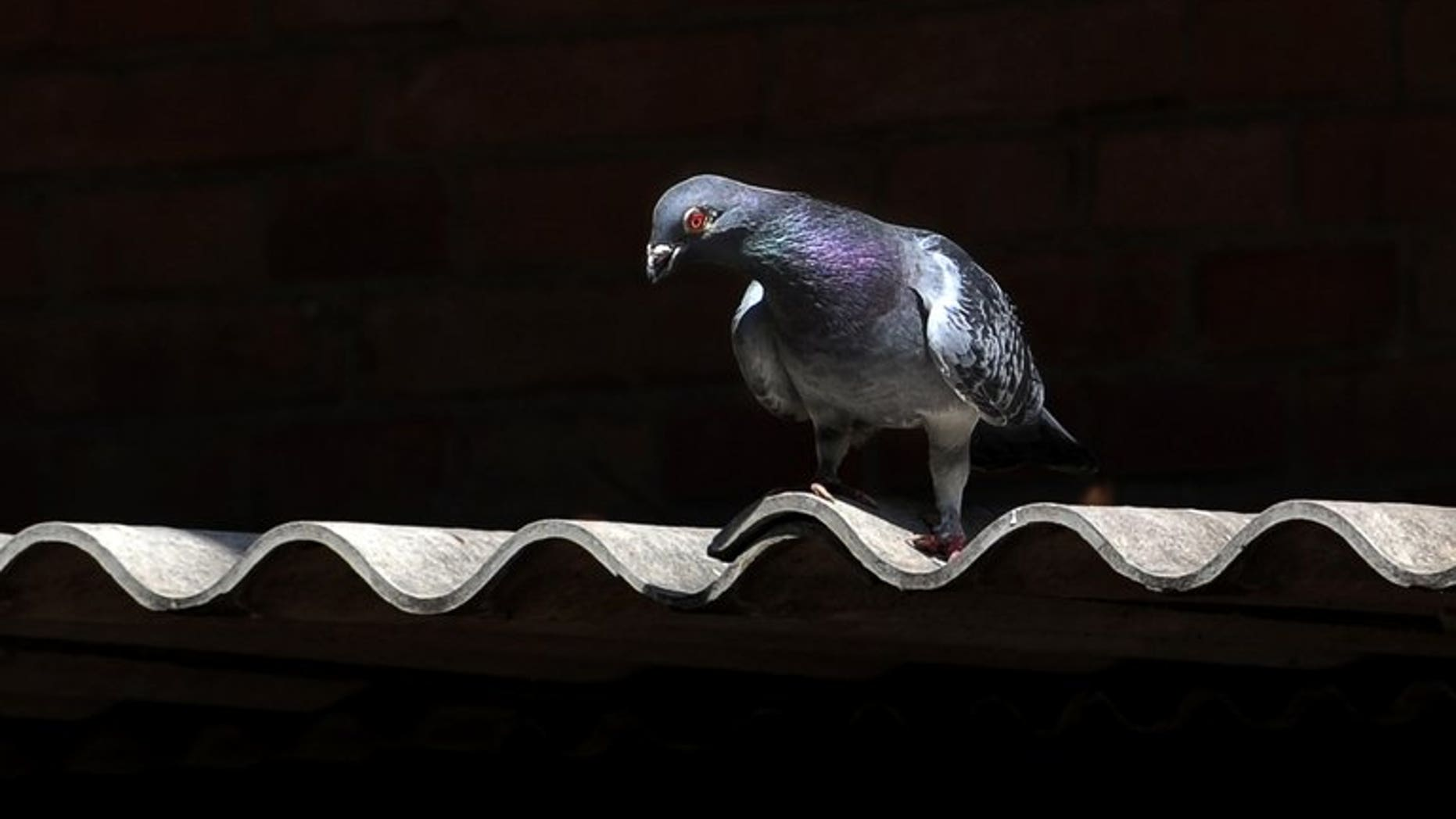 A plucky pigeon that flew across the Pacific Ocean from Japan will be bred by a bird lover in Canada hoping its progeny will be top long distance racers, an animal rescue official said.