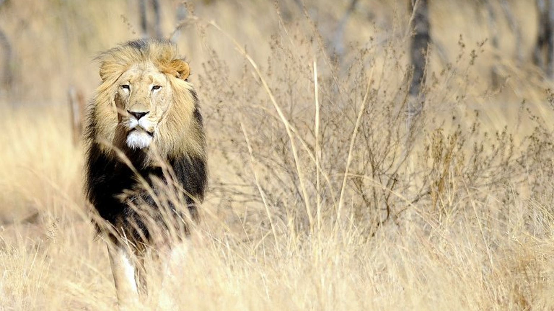 A picture taken on July 31, 2012 shows a lion at the Entabeni Safari Conservancy in Limpopo, 300 kms northeast of Johannesburg. A Quebec woman was attacked by a lion while volunteering at a South African animal rehabilitation centre, an official.