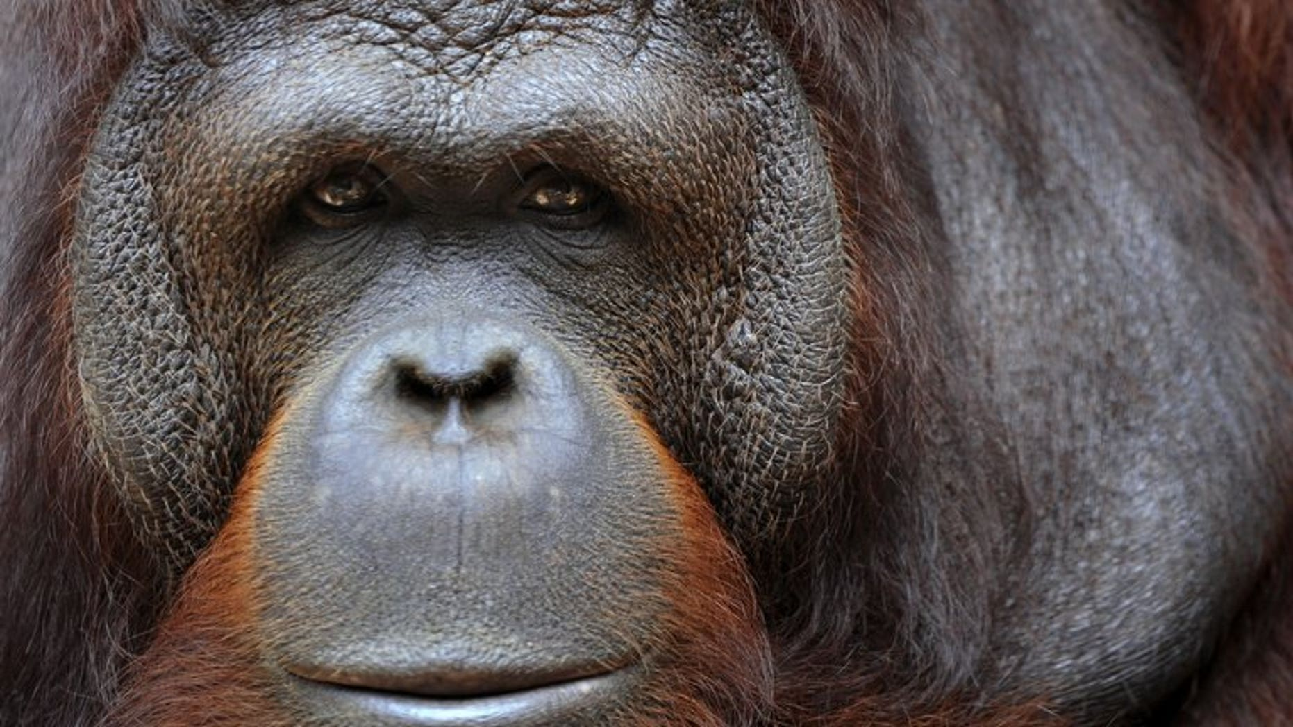 Illustration. An obese orangutan has been put on a strict diet by Malaysian wildlife authorities after two decades of gorging on junk food handed out by tourists, a report said Friday.