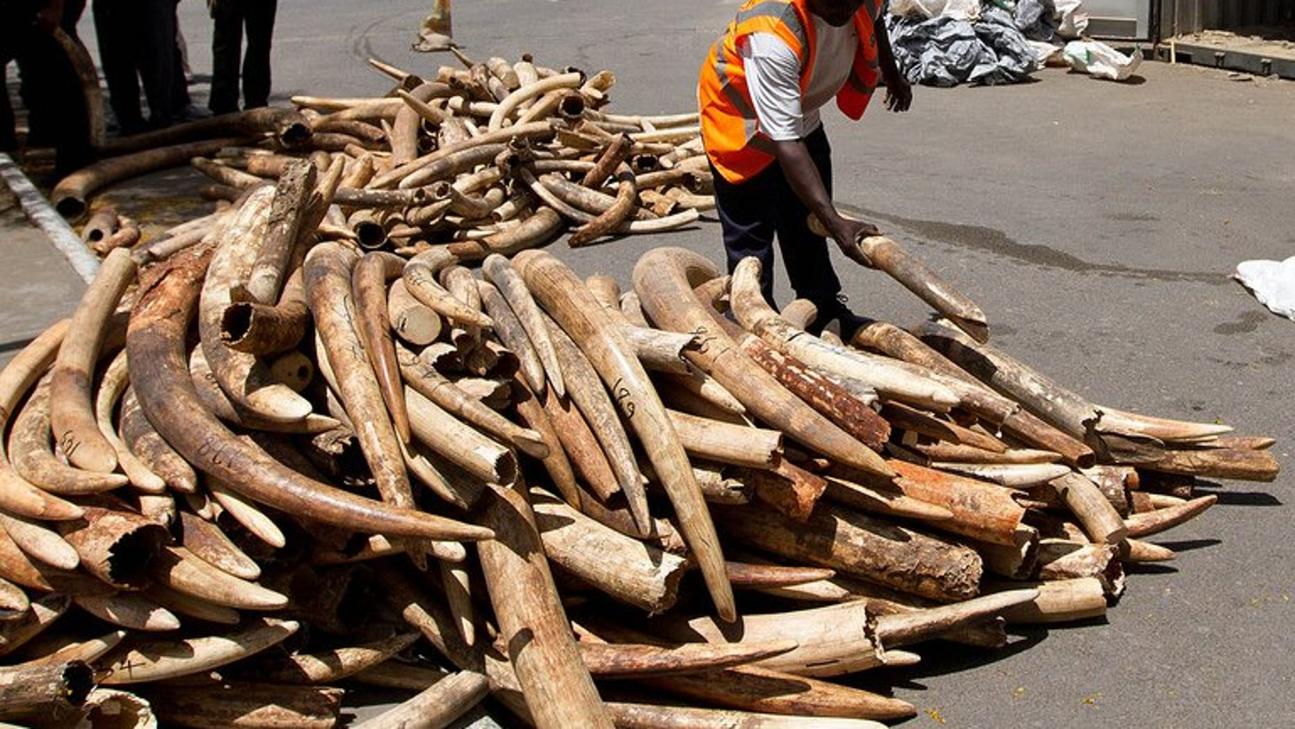 A Kenya Ports Authority (KPA) employee inspects confiscated ivory tusks in Mombasa, on January 21, 2013. Kenyan customs officers have confiscated more than three tonnes of elephant ivory destined for Malaysia -- one of the largest in a series of such seizures.