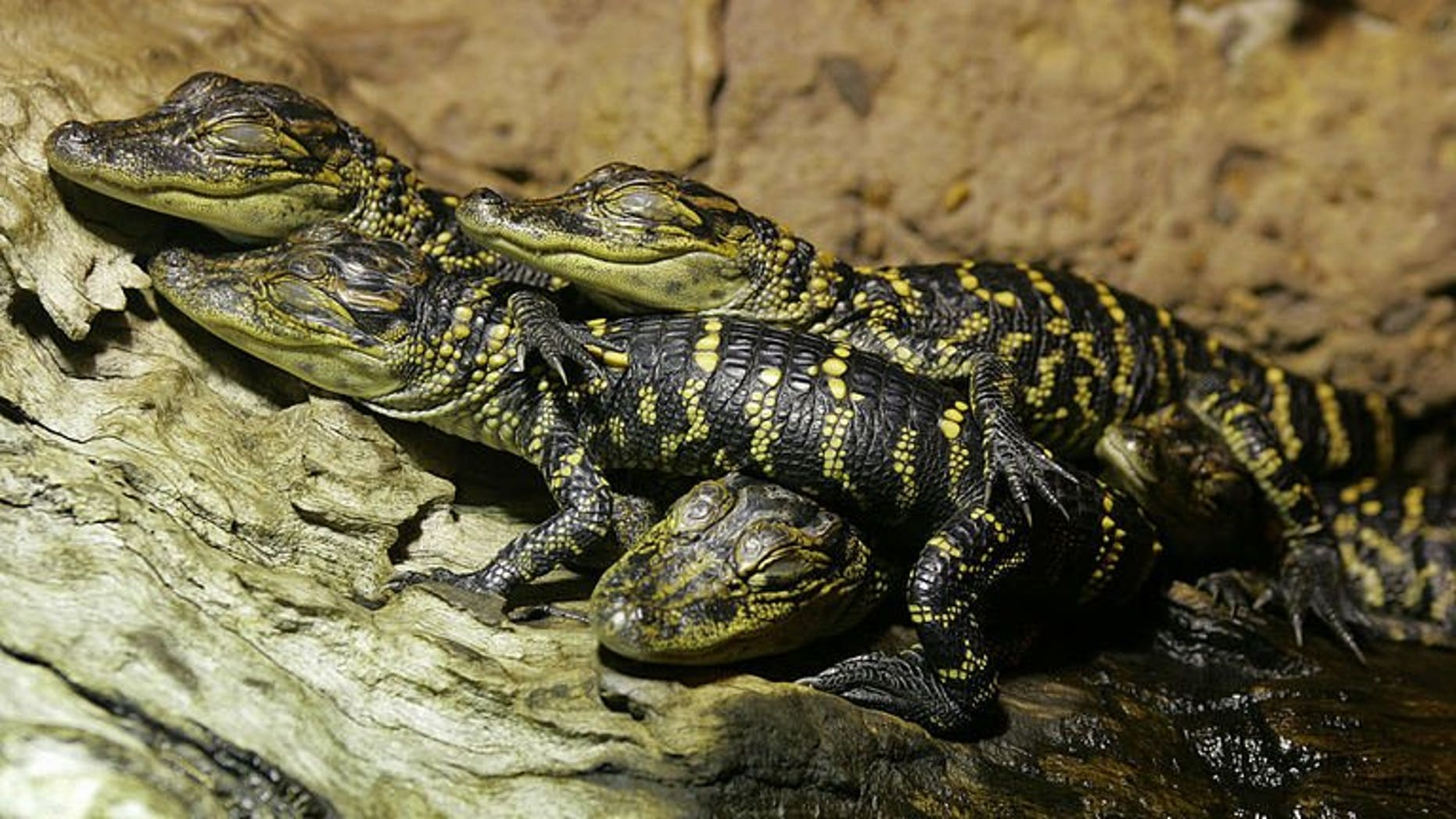 Juvenile American alligators (Alligator mississippiensis) are seen at the Australian Reptile Park at Gosford, near Sydney, on October 8, 2004. Thieves stole a horde of exotic reptiles from the park, including a baby alligator, leaving their keepers fearing they could be destined for the black market.