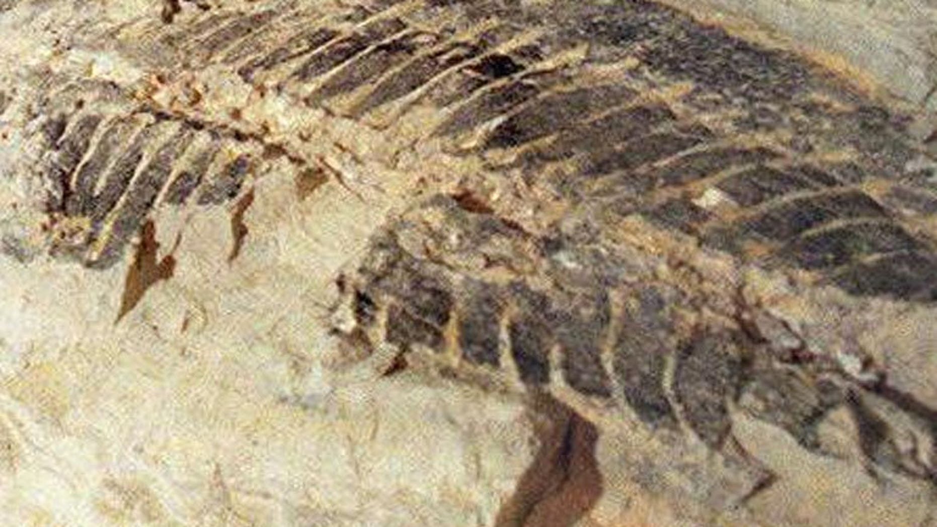 Illustration photo shows a 220-million-year-old amphibian fossil found in a quarry north of Sydney on February 14, 1997. Australian builders doing roadworks have uncovered a rare urban trove of crocodile and other fossils thought to be around 50 million years old, officials said.