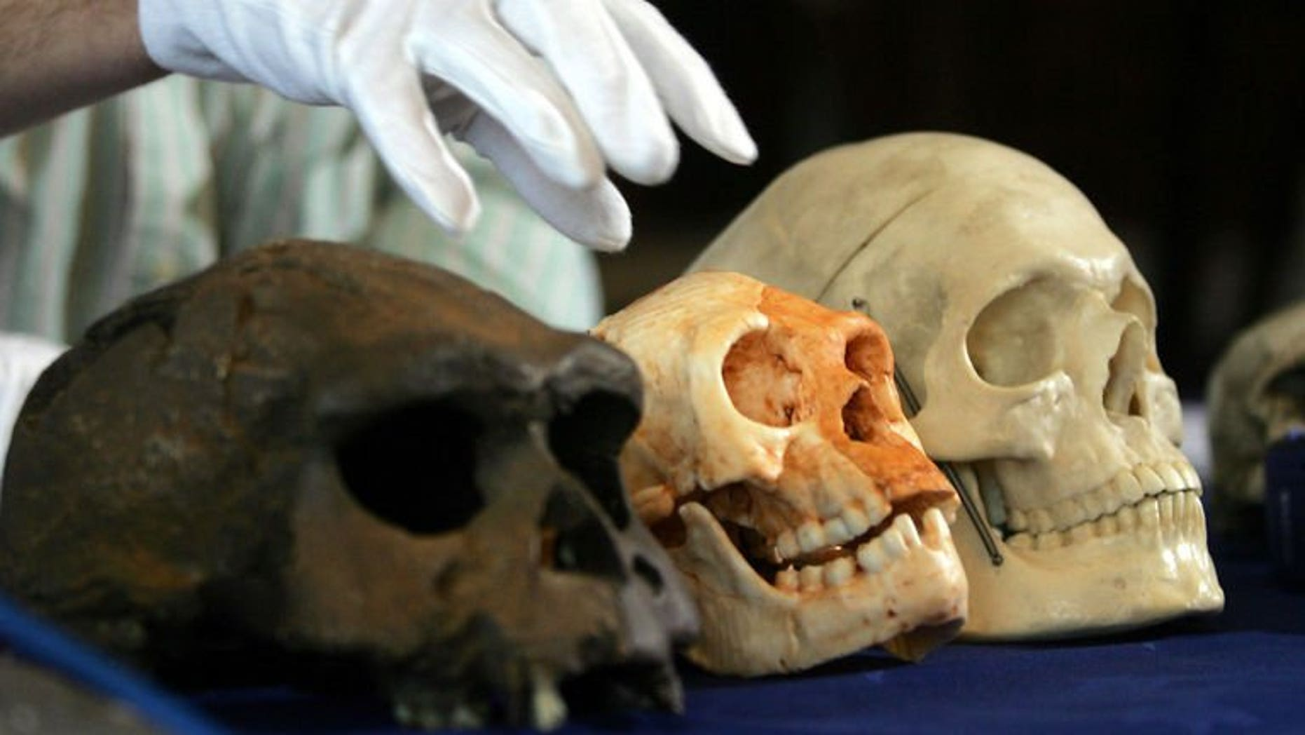 """The skull (C) of a new humanoid species known as the """"hobbit"""" that was discovered on the Indonesian island of Flores is put on display in 2004 in London. The Australian archaeologist who rocked the science world with his discovery of the tiny new species of human has died after a year-long battle with cancer, his university said."""