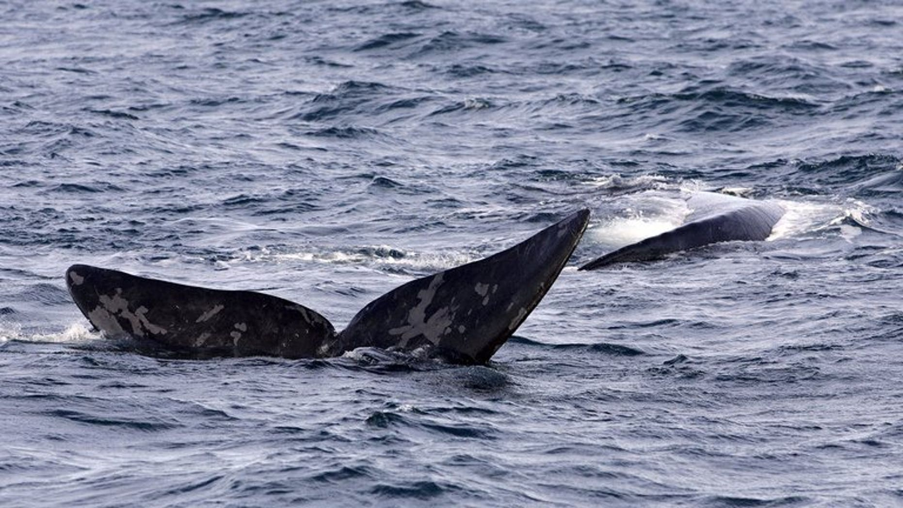 File photo of a Southern Right Whale displaying its fluke off the southern coast of Argentina. A rare southern right whale covered in what appear to be shark bites has washed up on an Australian beach, exciting scientists who Thursday said it will help boost knowledge of the species.