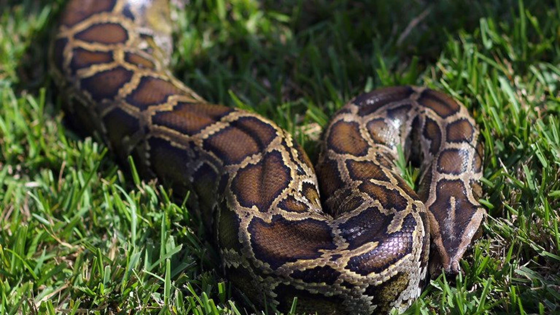 Illustration. Little more than a week after a giant python crushed two young Canadian boys to death, police have recovered 40 of the snakes from a hotel room in Ontario.