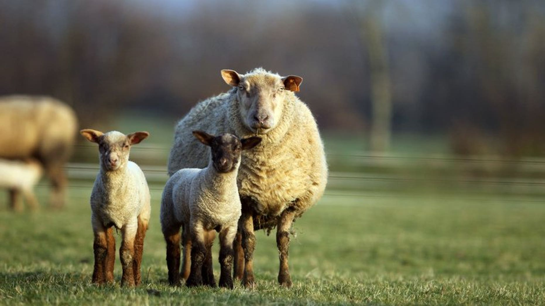 Kazakh side Shakhter Karagandy have called on an unusual means to gain the edge over Celtic in their crucial Champions League play off clash by slaughtering a sheep at the stadium for good luck.