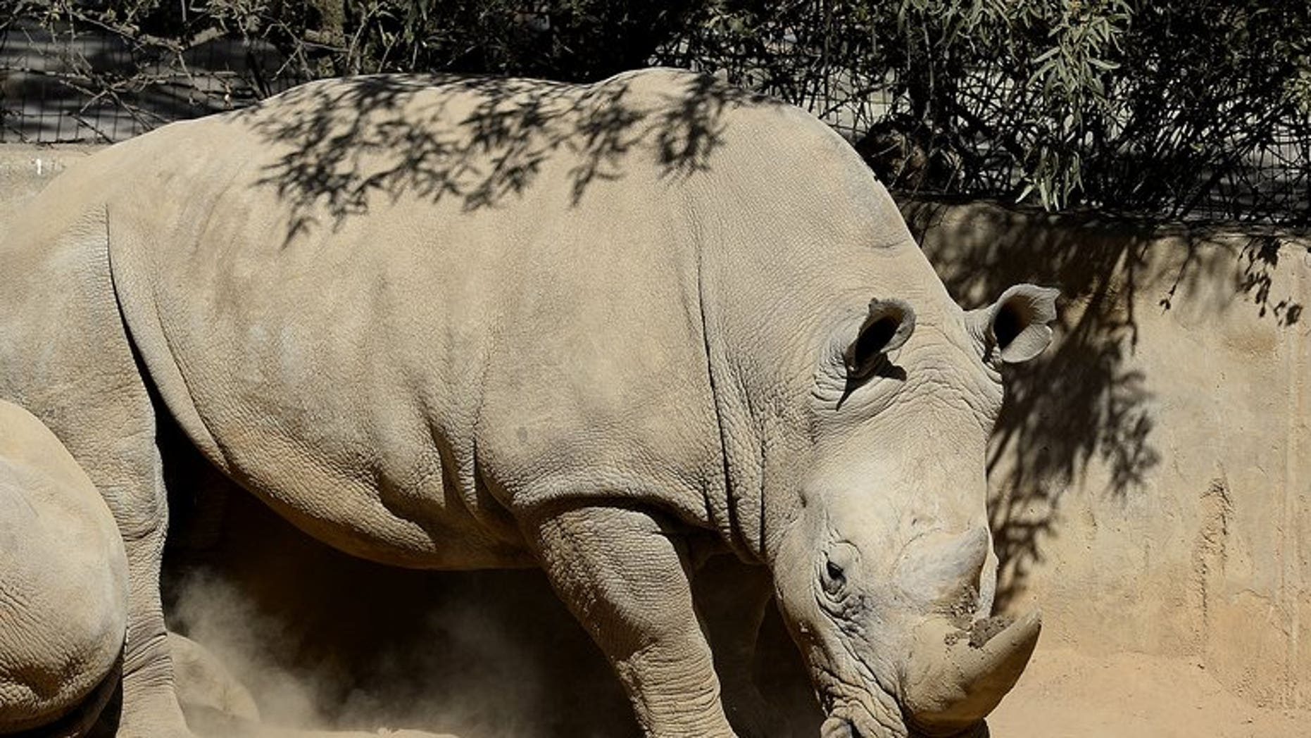 This picture taken on July 25, 2013 shows a white rhino at the Johannesburg Zoo. Poachers have killed more than 600 rhinos in South Africa so far this year, figures showed Thursday, with losses close to the total number of animals slaughtered in 2012.