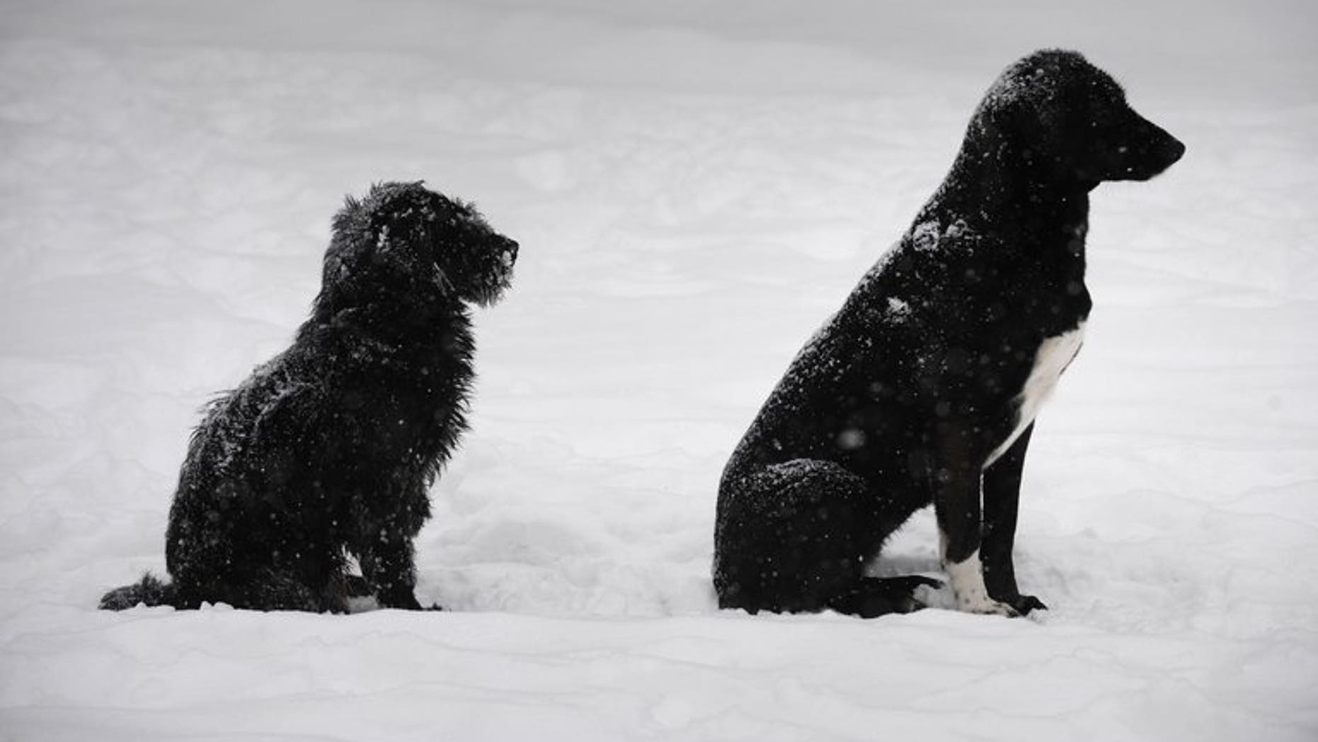 Two stray dogs sit in the snow in Bucharest, on February 13, 2012. Romanian lawmakers on Tuesday voted overwhelmingly for a law allowing stray dogs to be put down after a four-year-old boy was mauled to death by a pack of strays last week.
