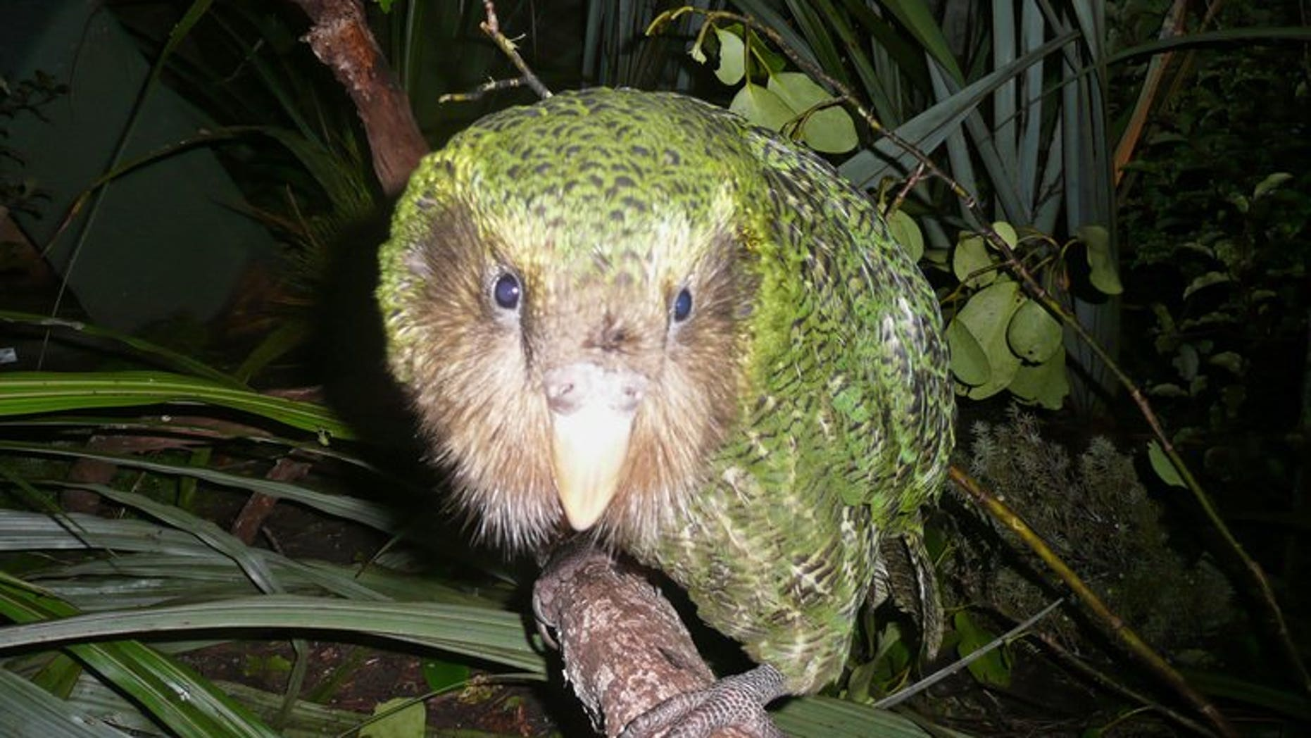 A green kakapo on Codfish Island, off the South Island, on June 20, 2012.
