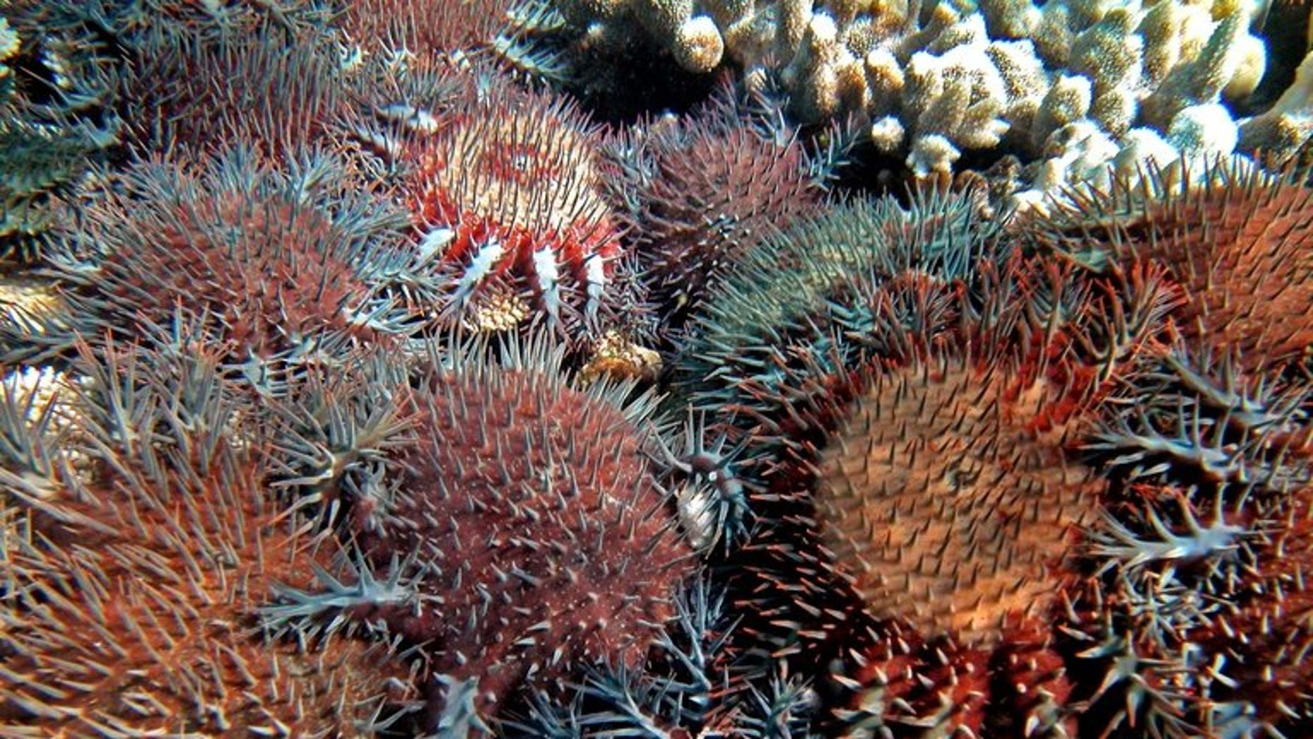 File photo of coral-eating starfish on Australia's Great Barrier Reef, the scourge of which has been partly blamed on climate change. Australia's new conservative government on Thursday abolished an independent climate change commission set up by the previous Labor administration, as part of its plans to streamline bureaucracy.